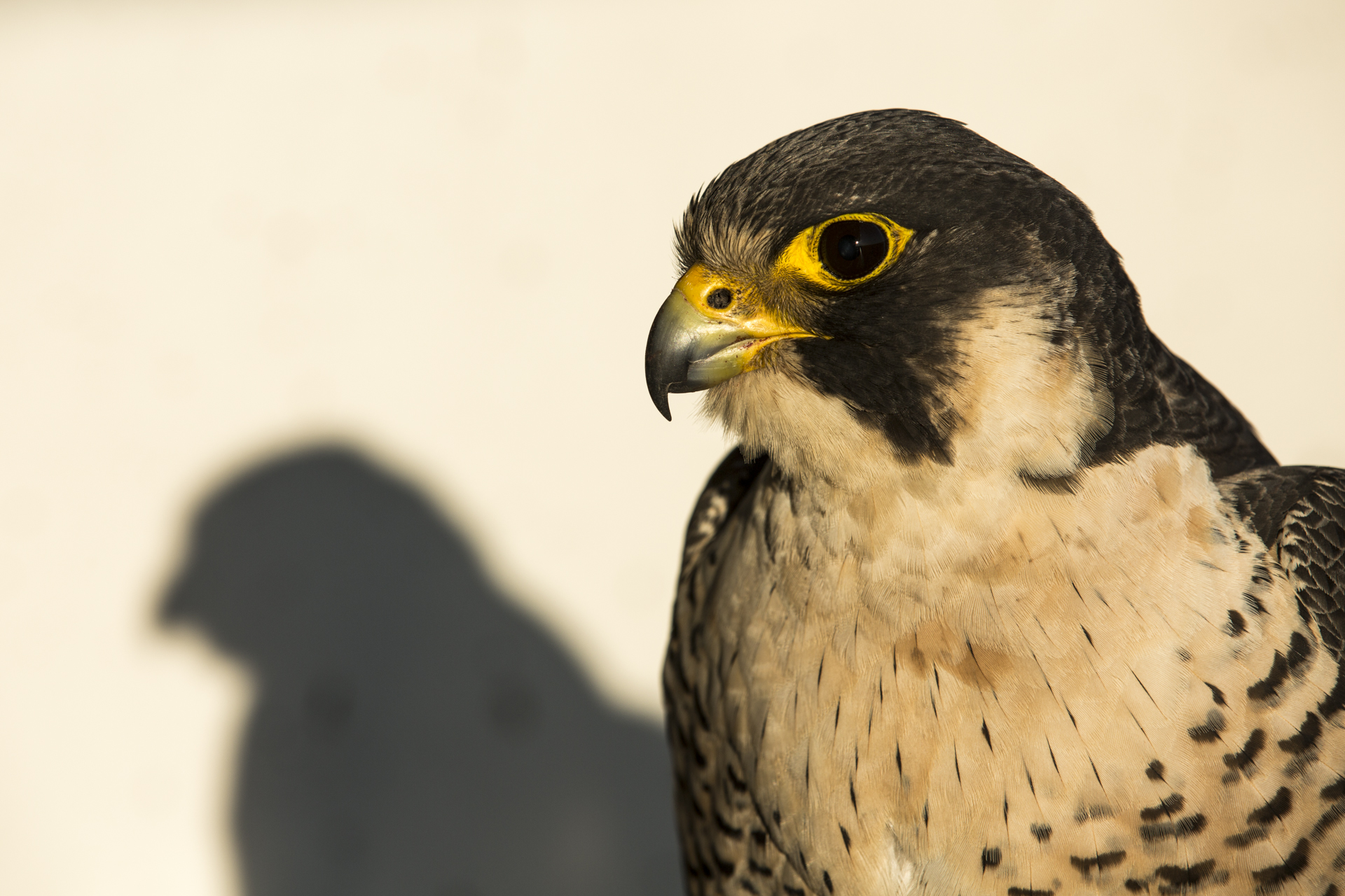 Peregrine falcons are highly proficient predators, built for killing prey with incredible eyesight, razor sharp talons and beaks.