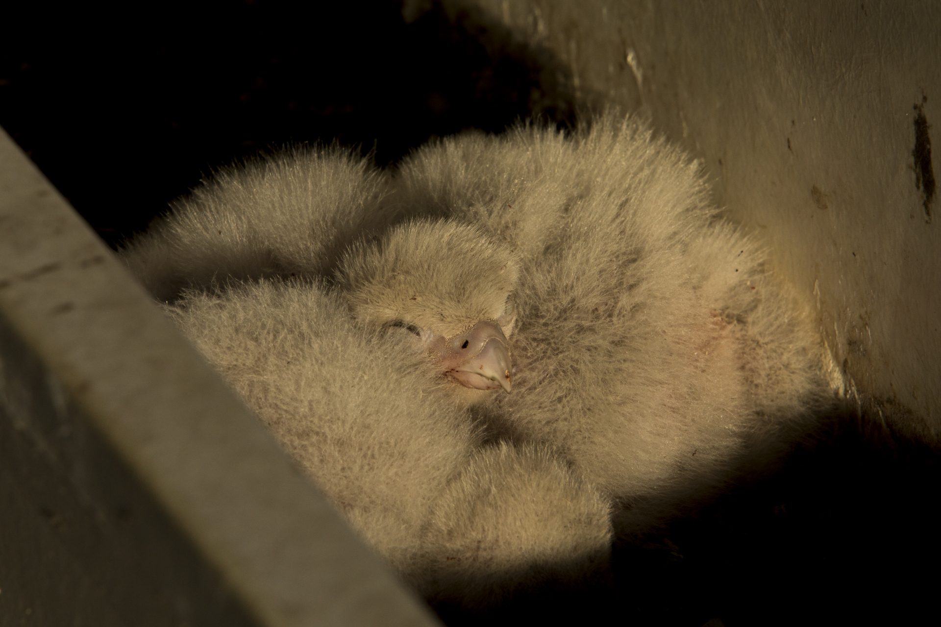 Once large enough the chicks could group together to keep warm, instead of being constantly brooded.