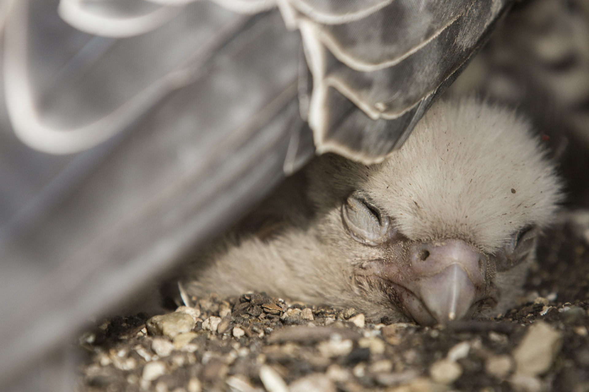 Even after hatching the chicks are brooded for a few more weeks until they're large enough to cope on their own.