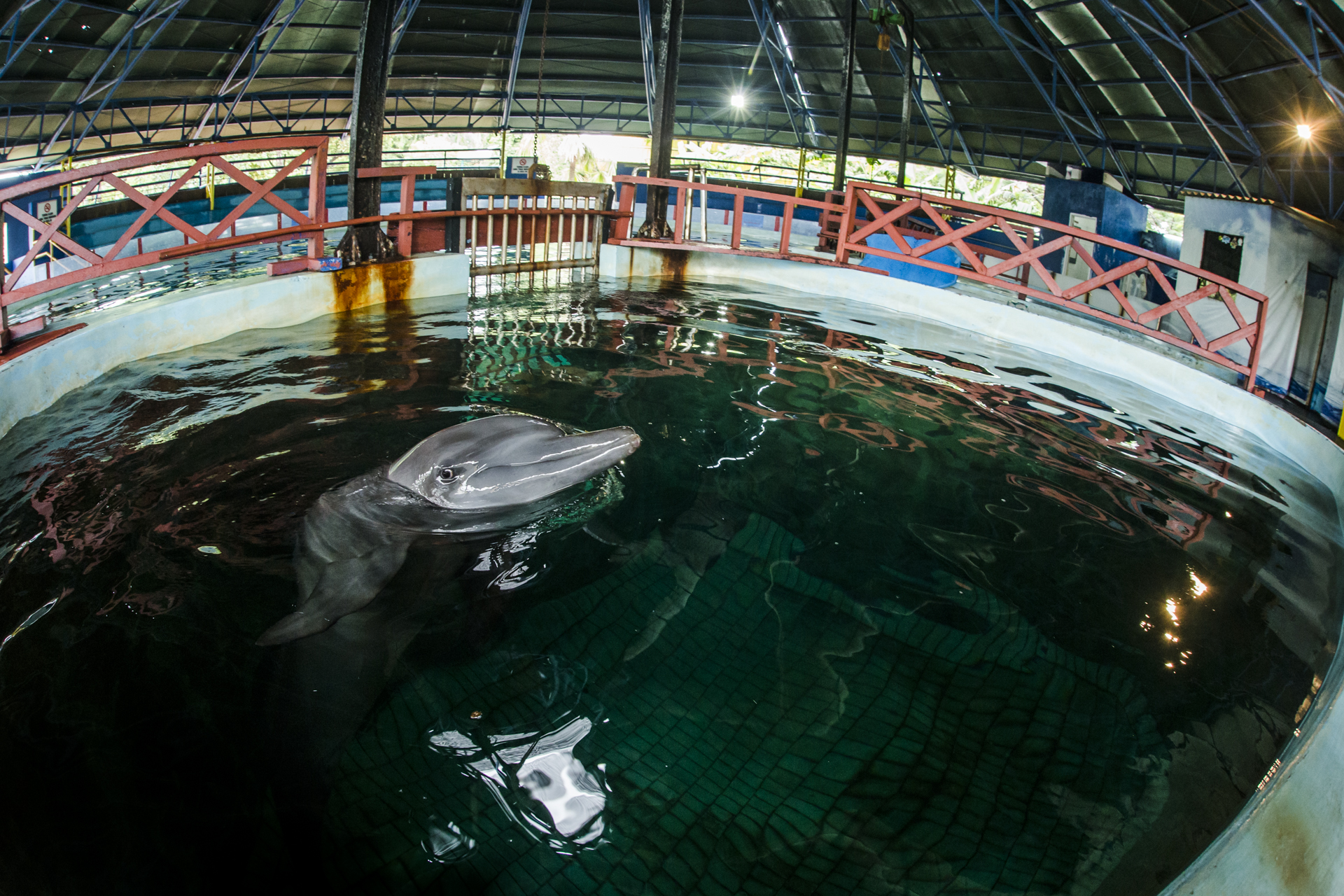 A dolphin is kept in a tiny chlorinated pool at an attraction in Jakarta. These dolphins are captured from the Bay of Jakarta and kept in tiny pools for the public's amusement.
