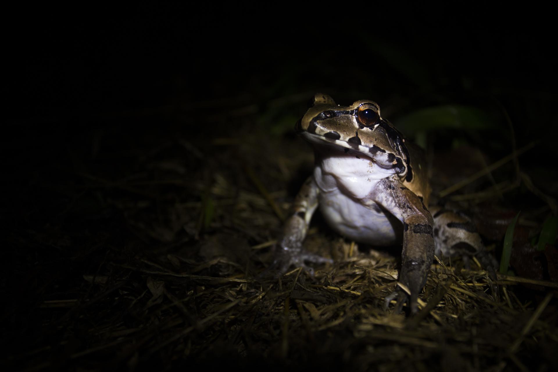 A smoky jungle frog in the Ecuadorian Amazon.