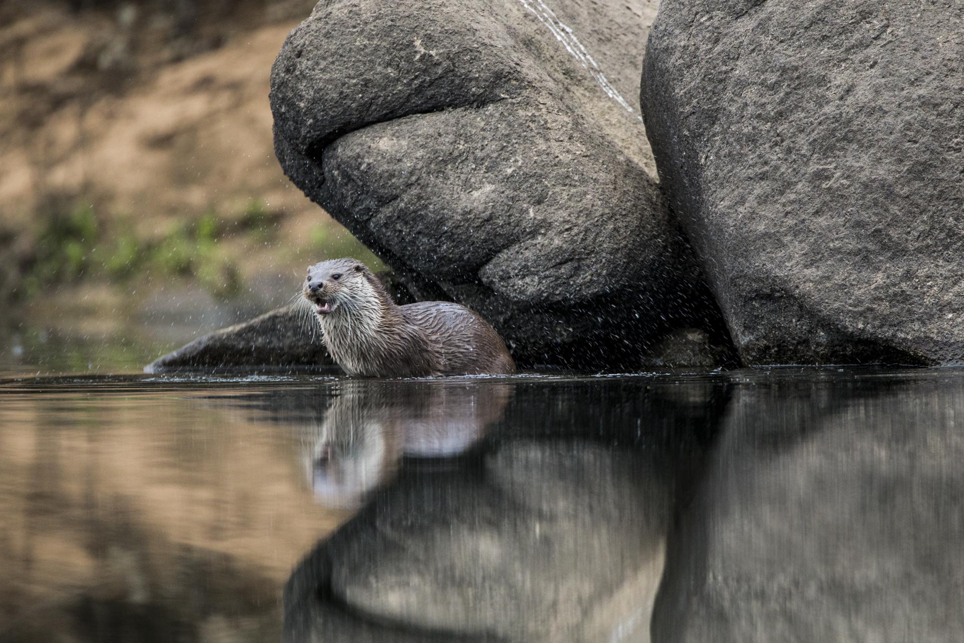 A European river otter, Spain.