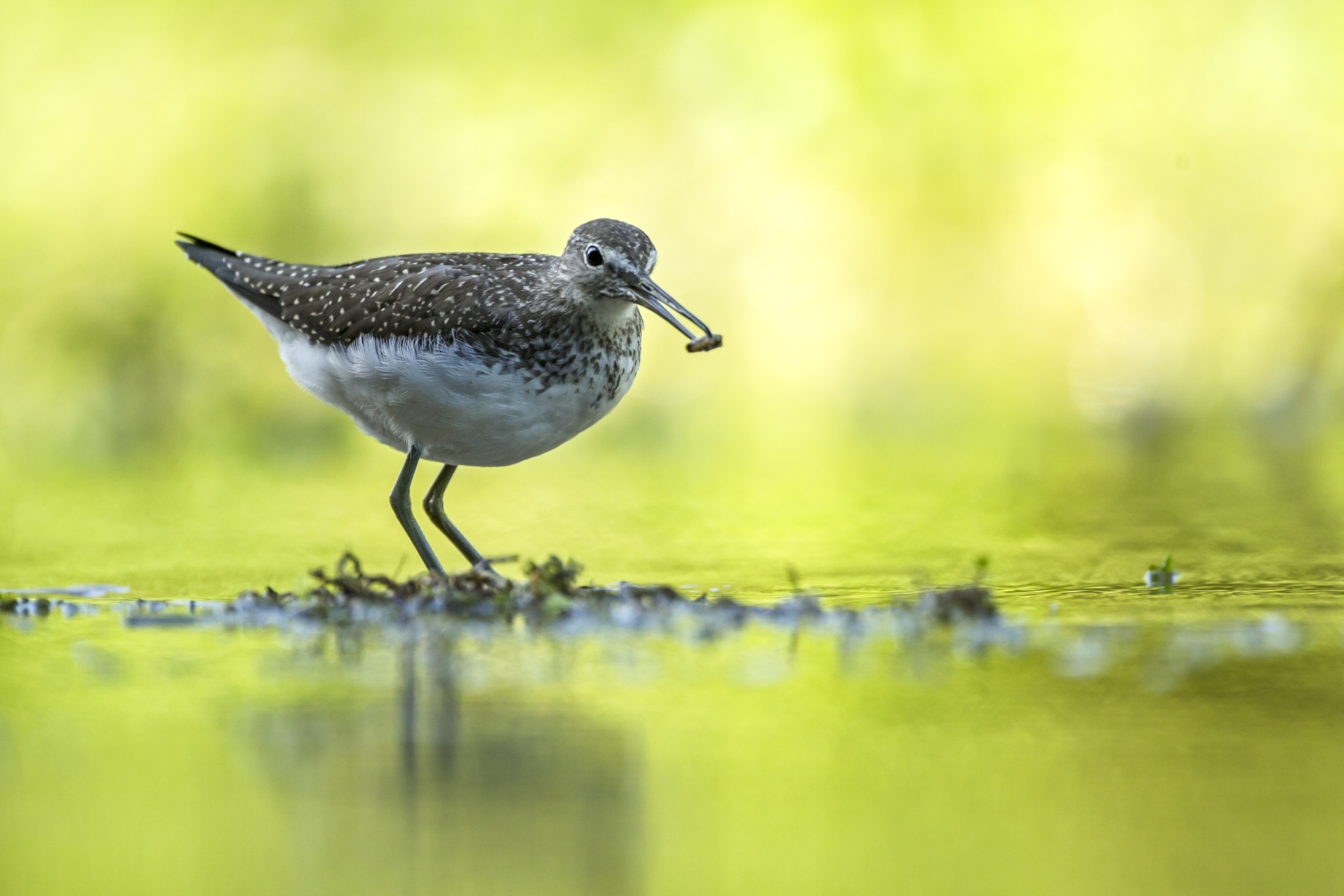 A green sandpiper with a caddis fly larvae.