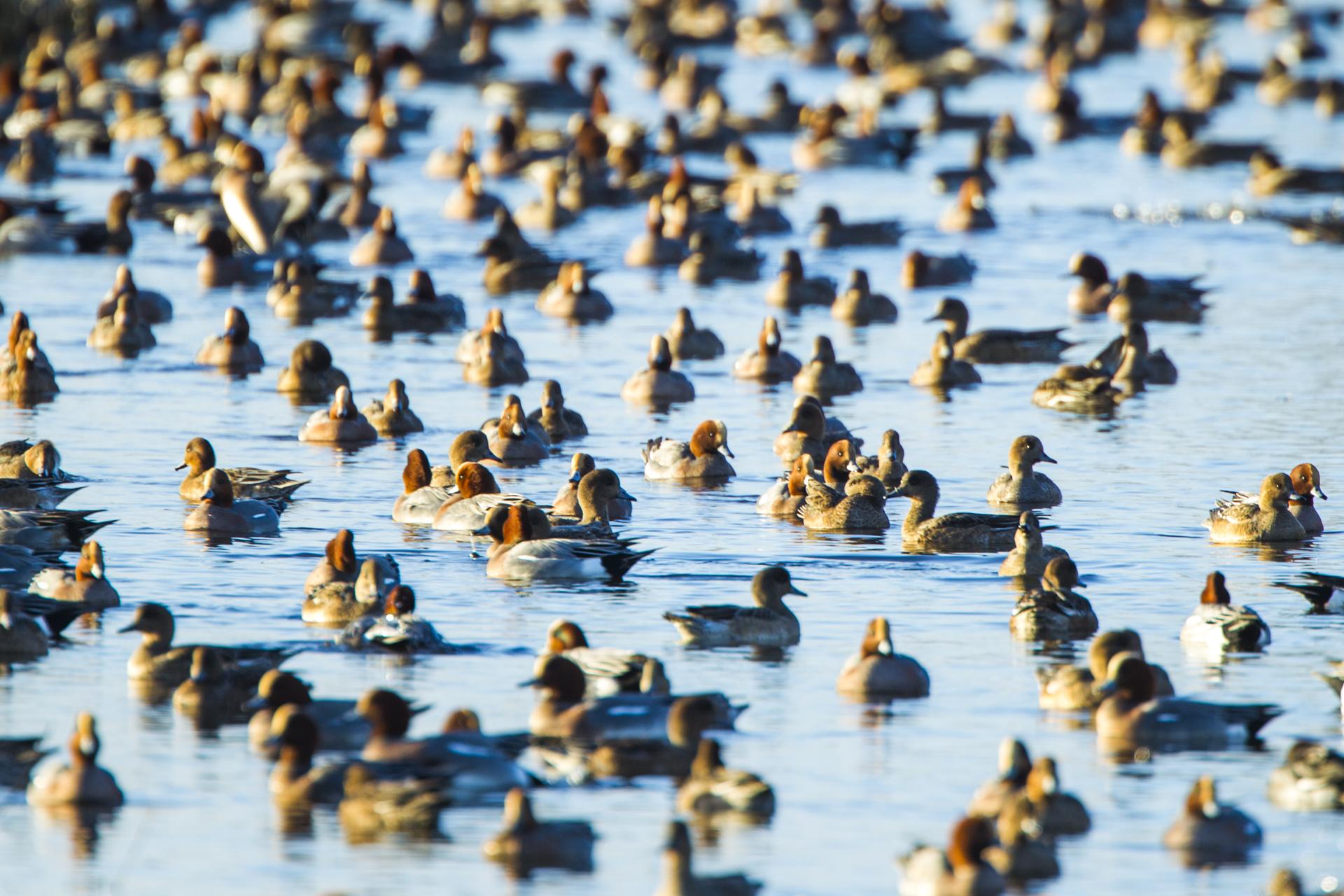A huge flock of wintering wigeon in Norfolk.