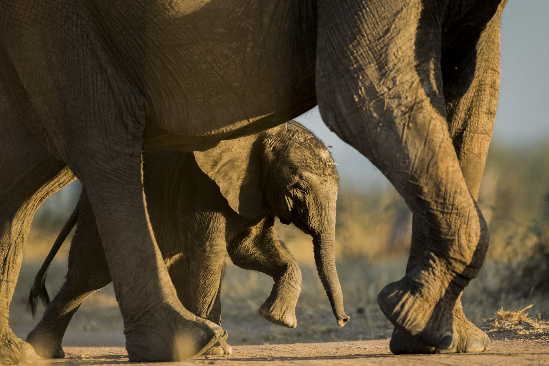 An elephant calf follows in its mothers footsteps.
