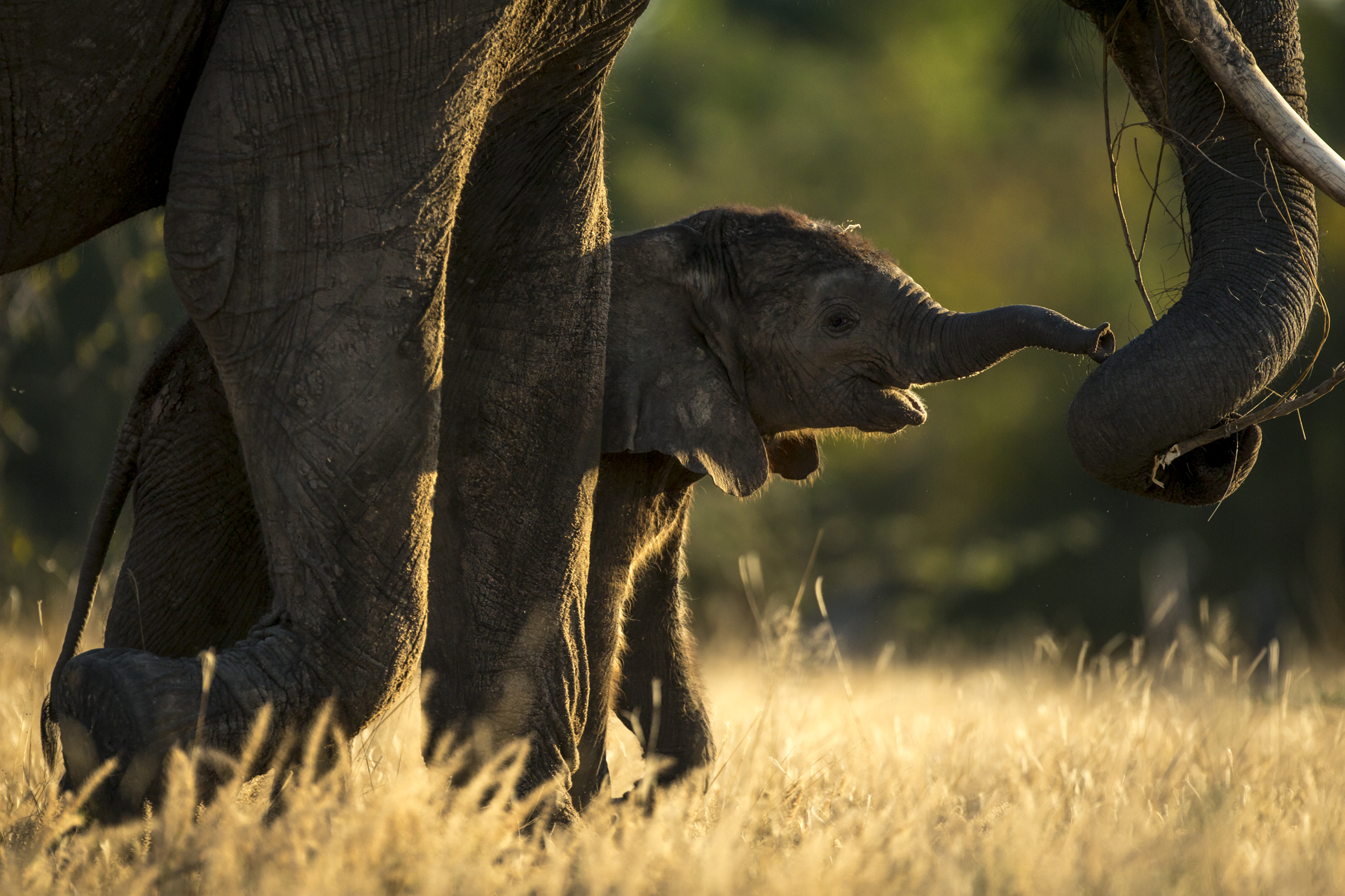 A young elephant calf reaches to smell the food its mother holds in her trunk.