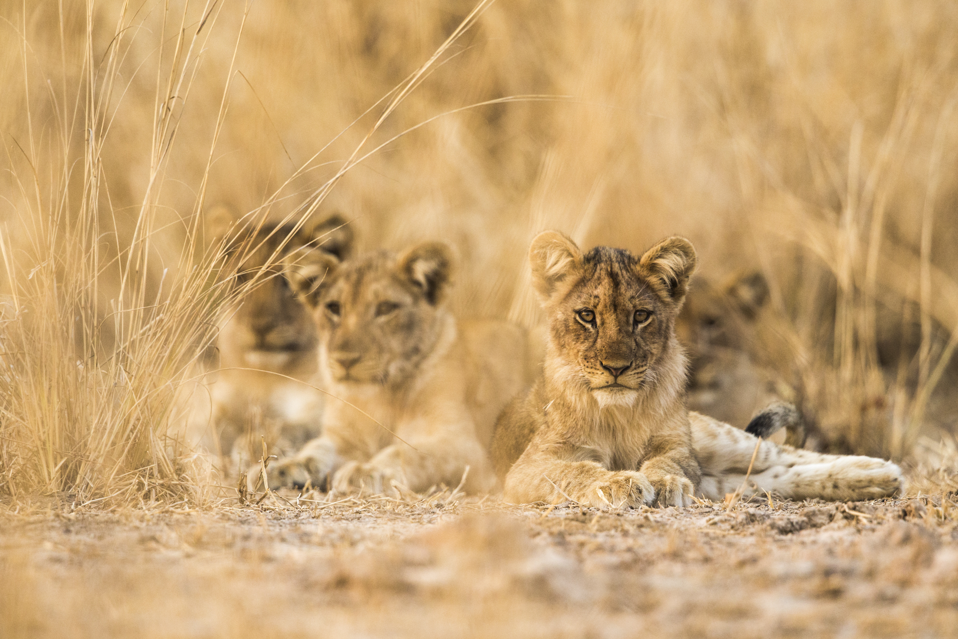 A group of young lions.