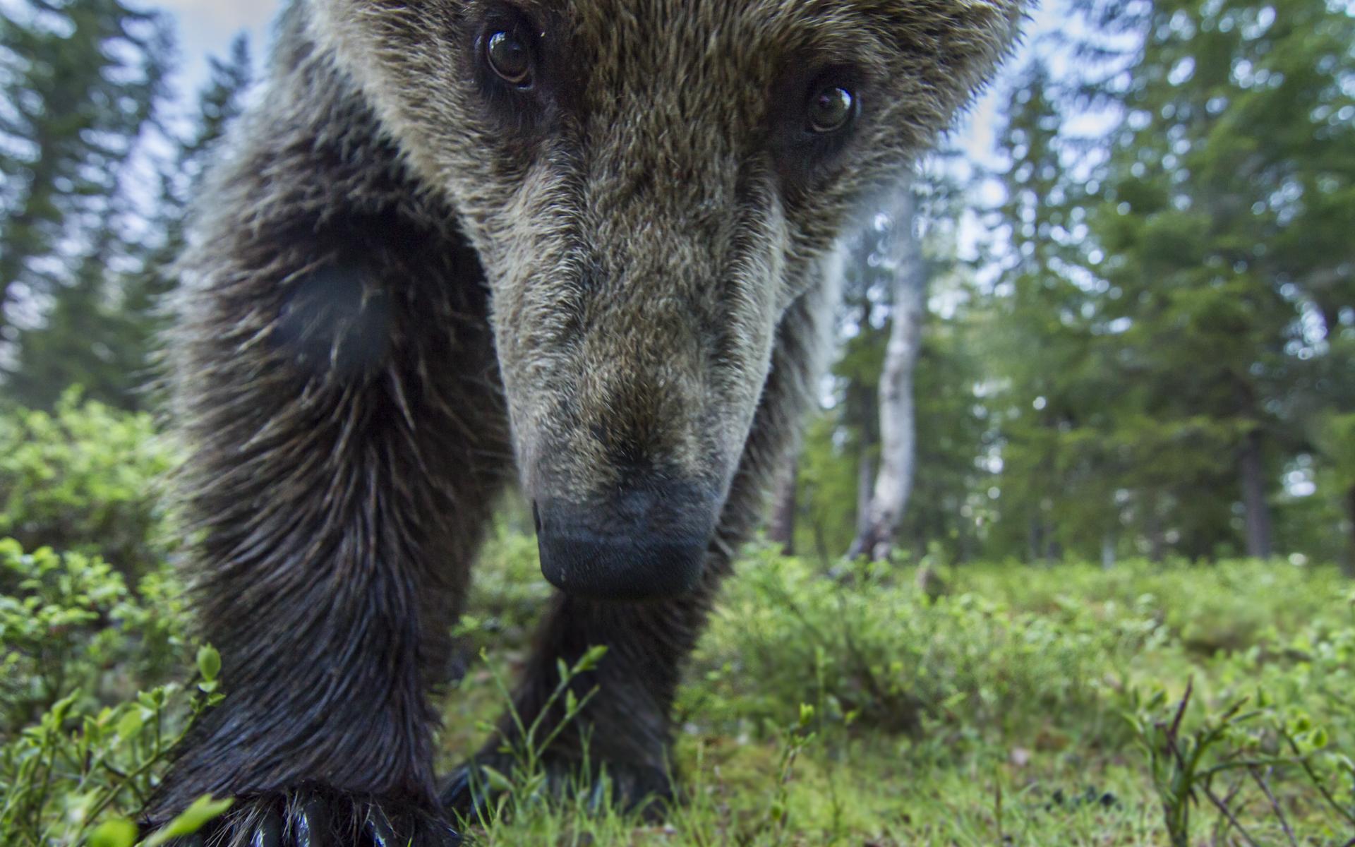 A European brown bear investigates my camera, Finland.