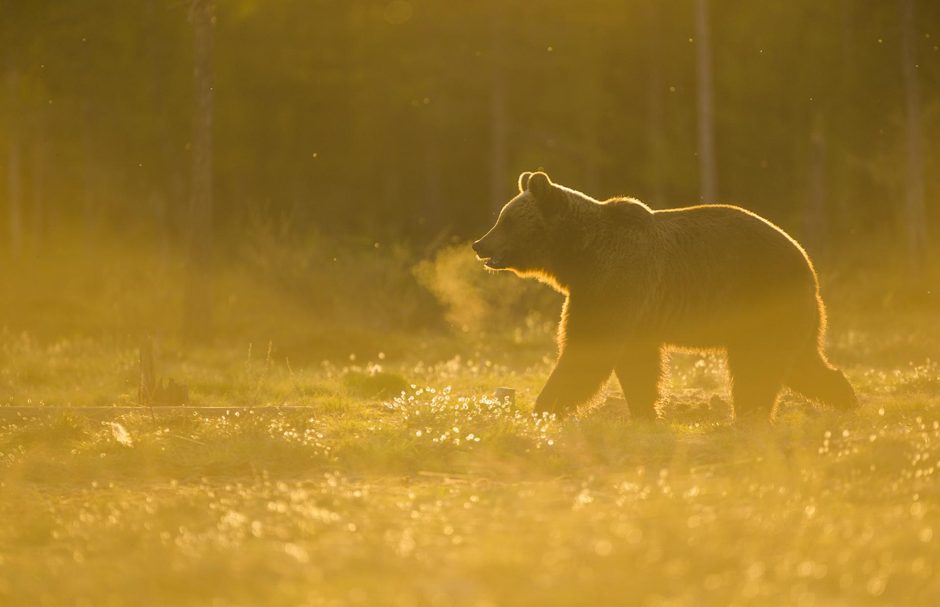 A European brown bear in golden Finnish light.