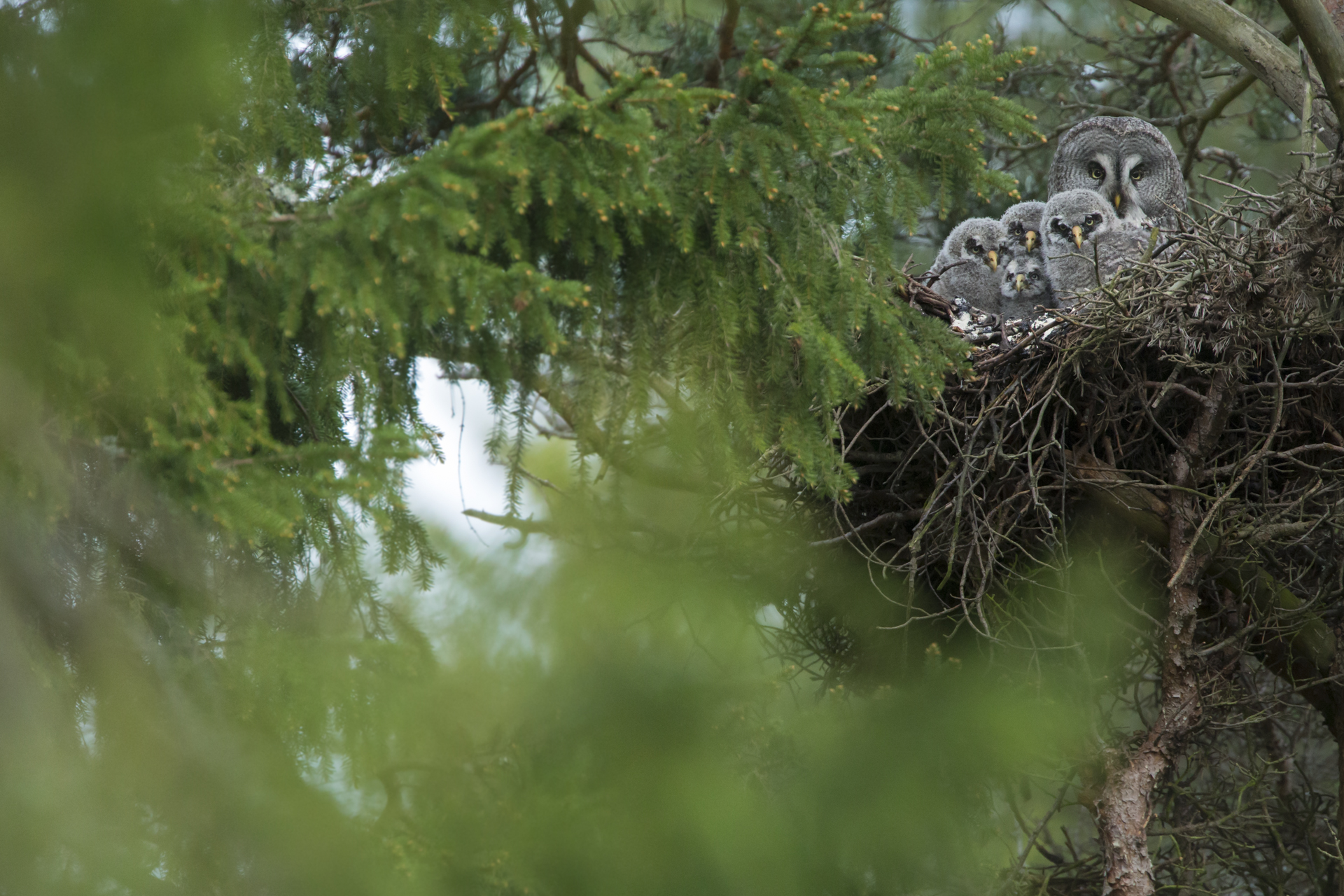 A family of great grey owls at the nest. Finland.