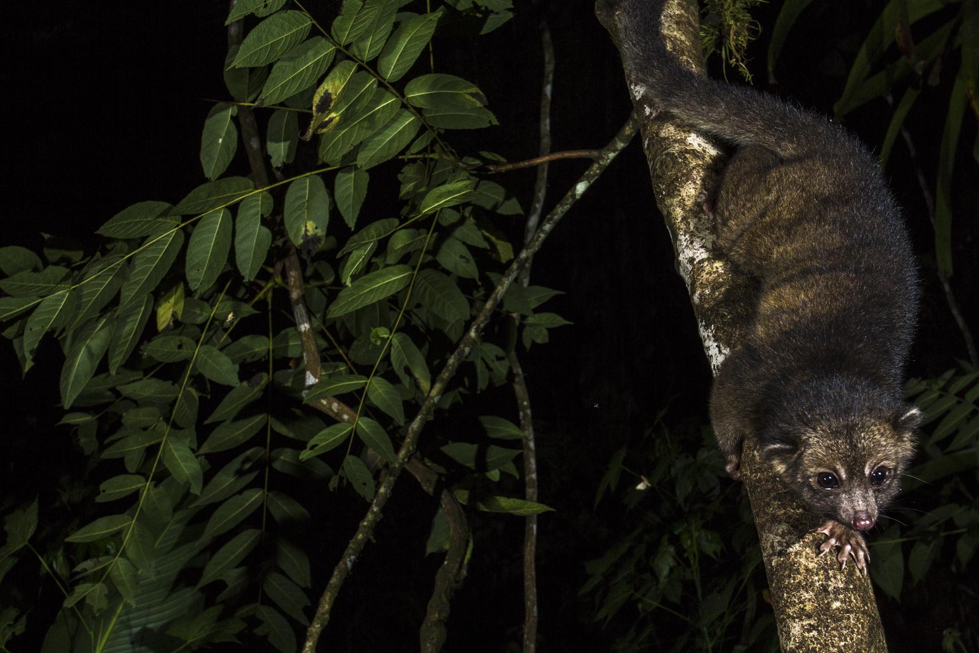 An olinguito descends a tree in Ecuador.