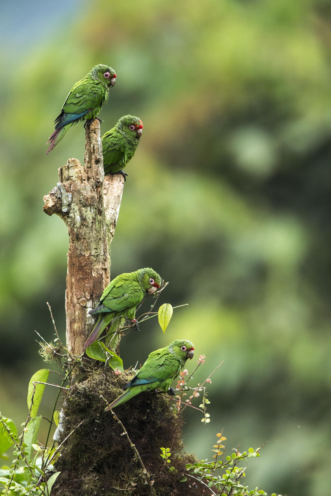 El Oro parakeets in Ecuador.
