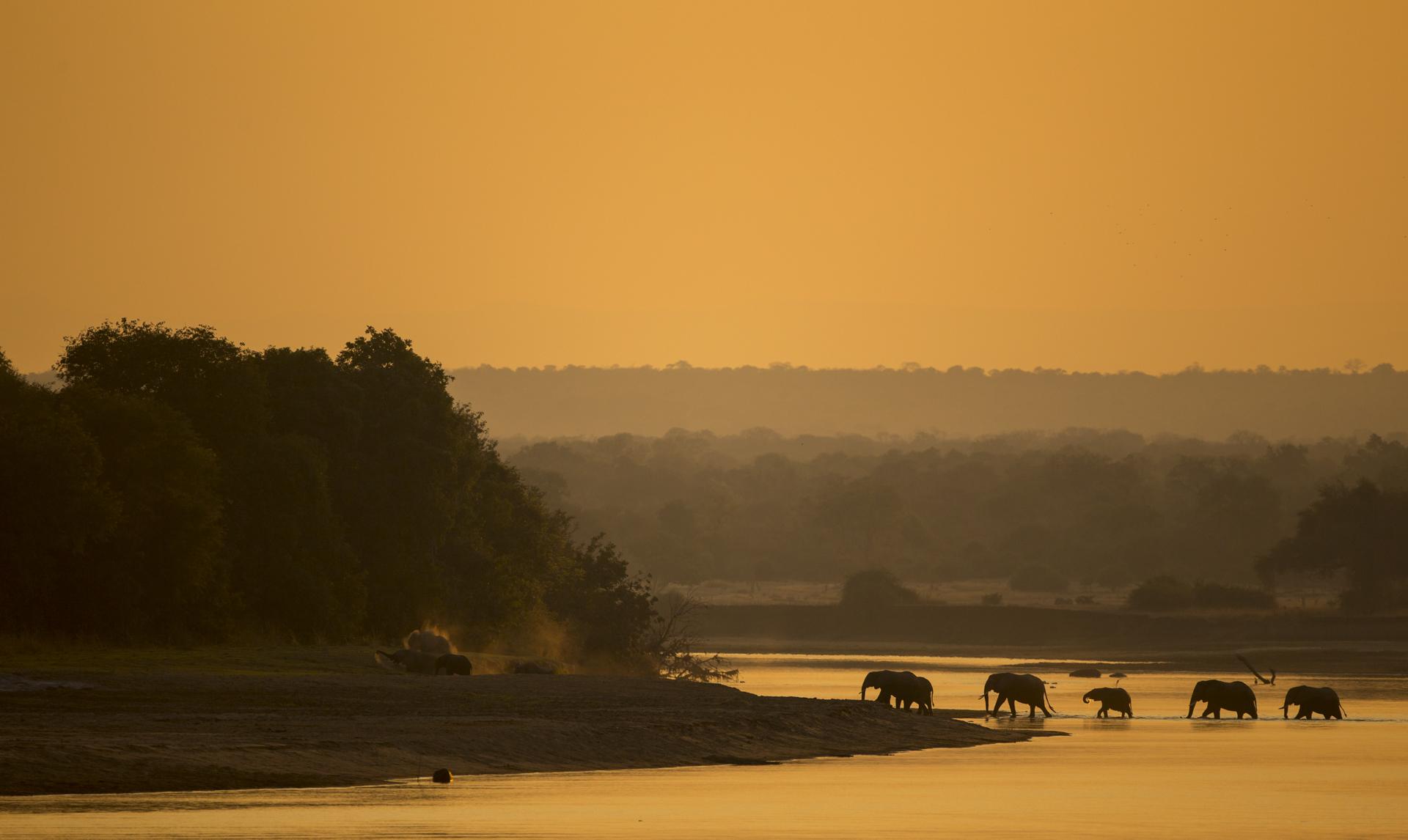 African elephants cross the Luangwa river, Zambia