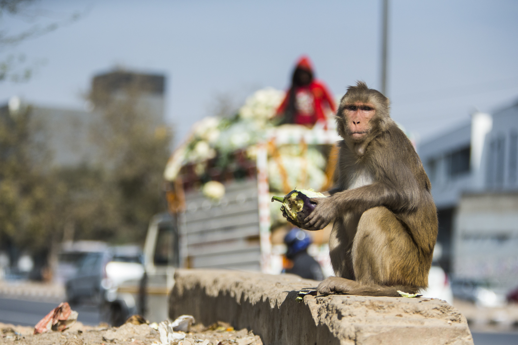 In Delhi Rhesus macaques are treated like gods, given offerings by the Hindu population due to their likeness to the Hindu god Hanuman.