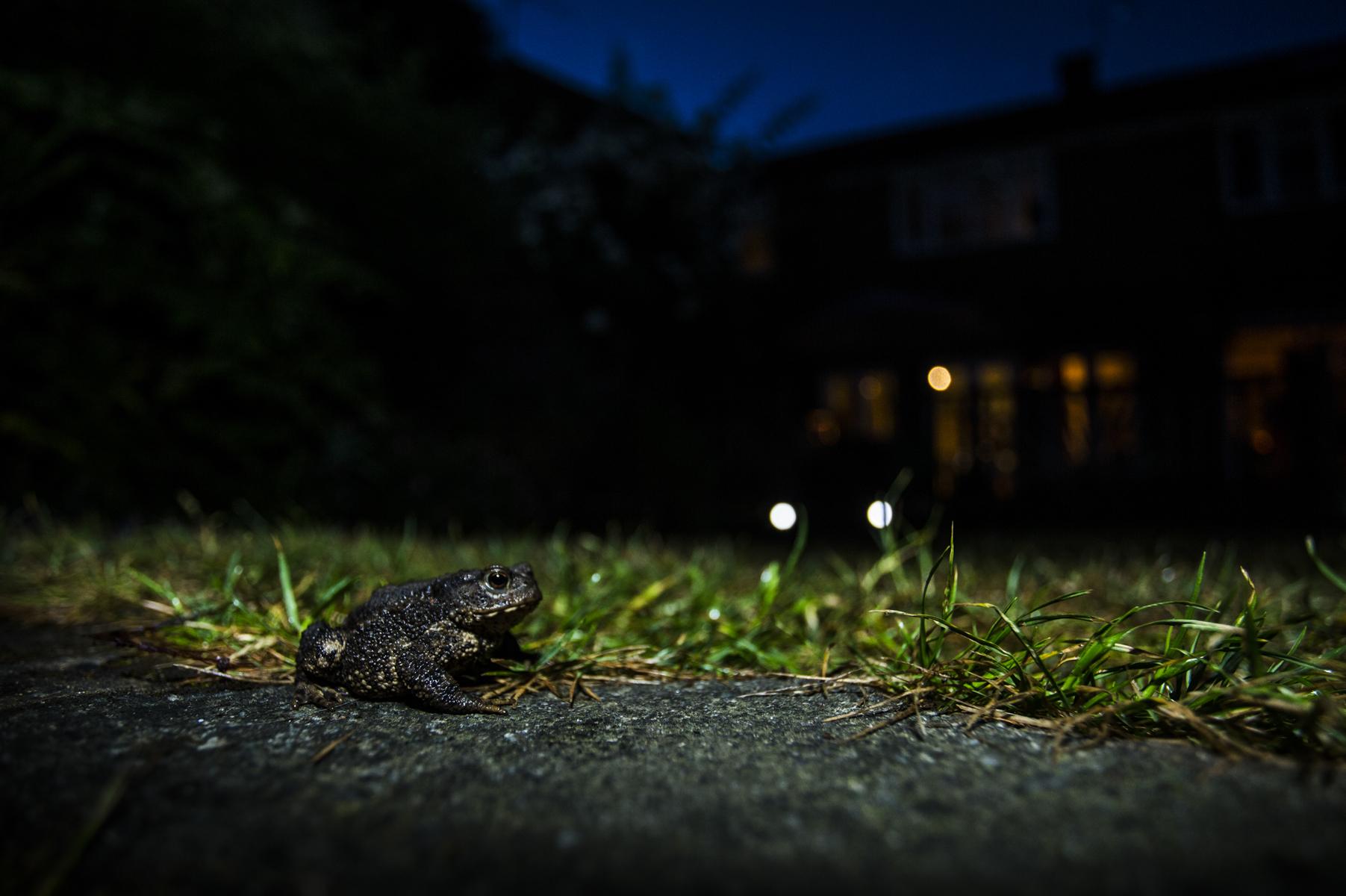 A toad in a suburban garden in Wimbledon.