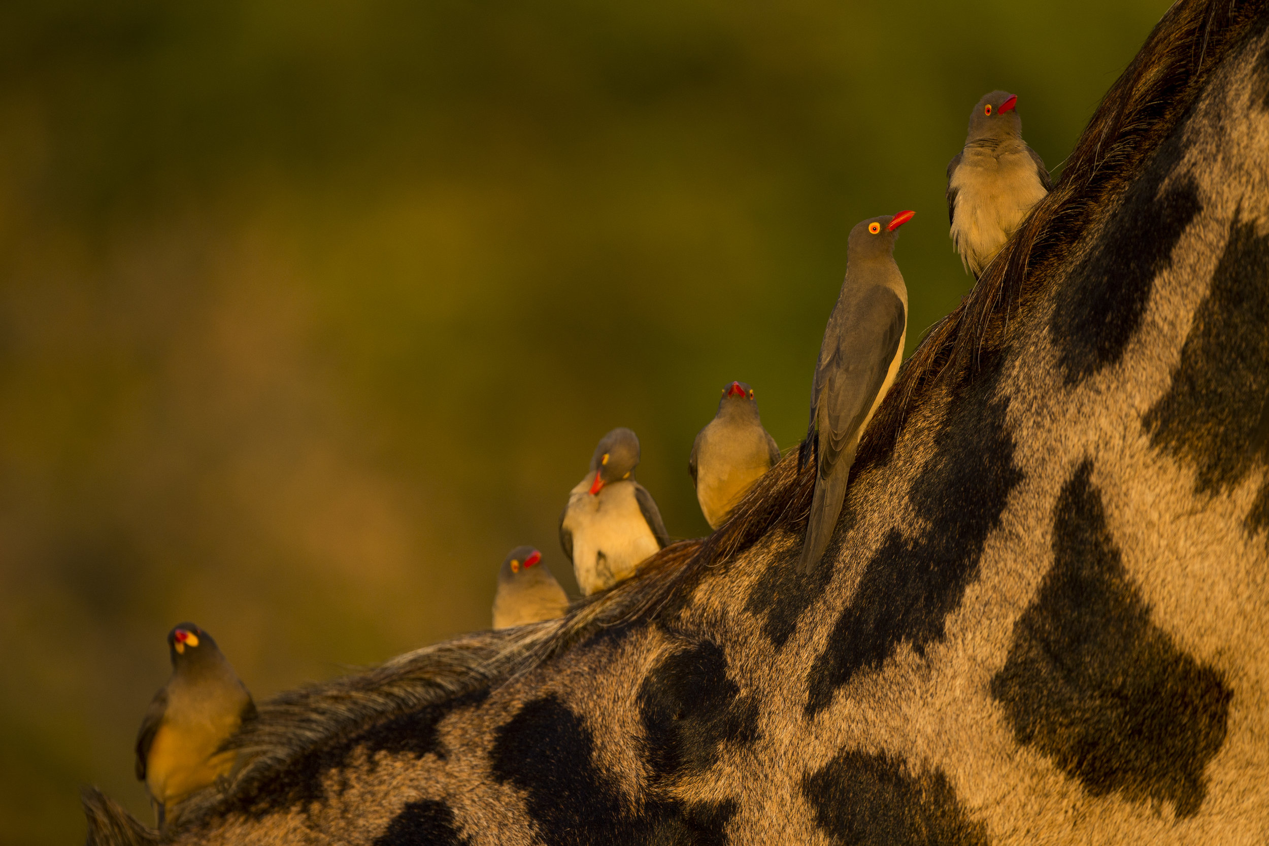 Red billed oxpeckers on a Thornicroft giraffe.