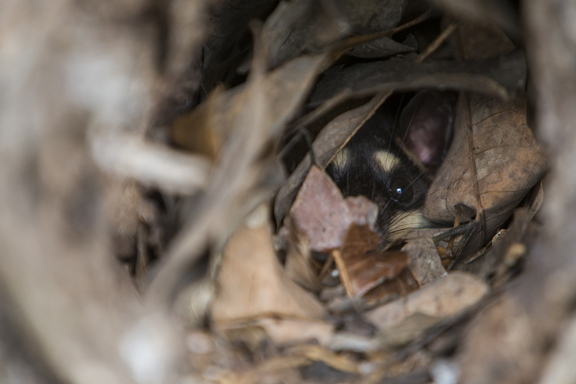 A Virginia Opossum in its roost hole. Guatemala.