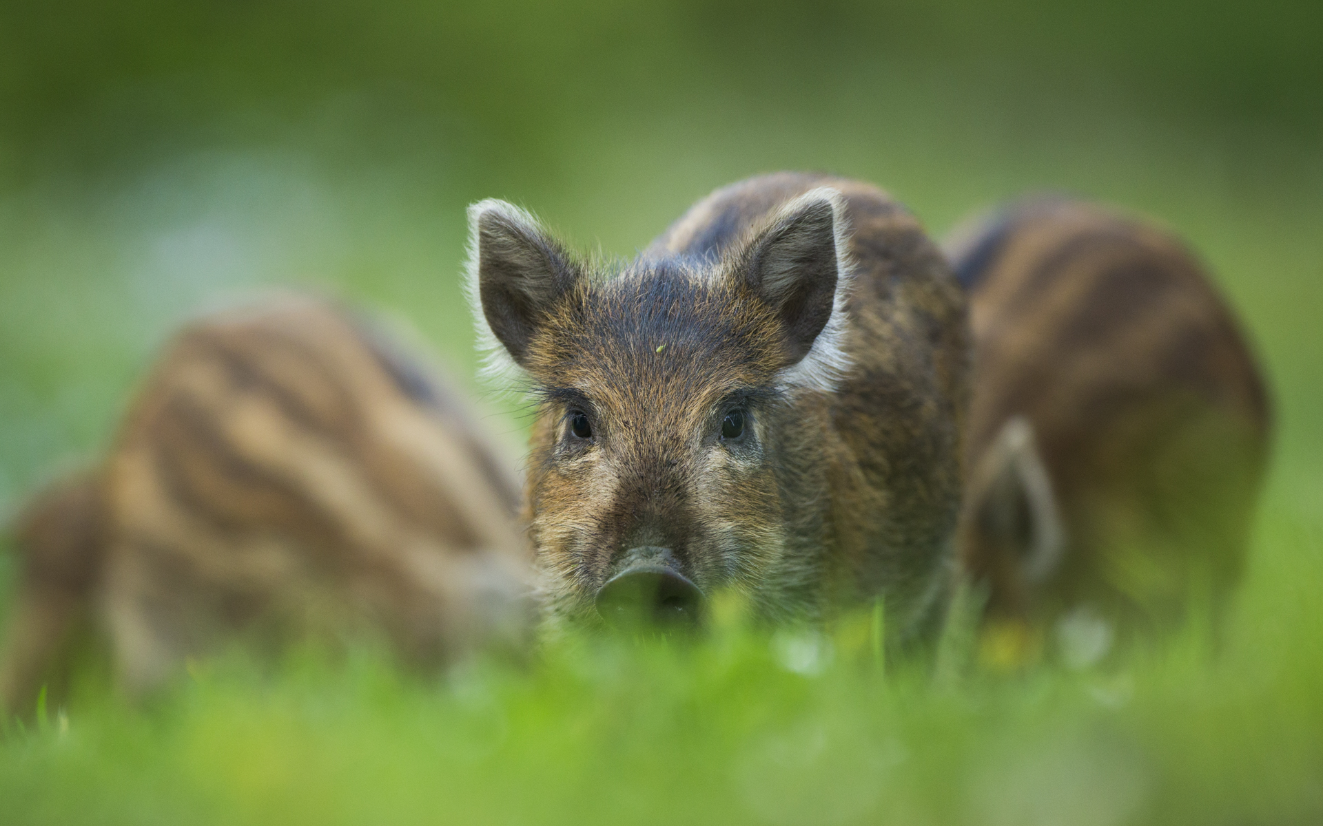 Wild boar piglets, England.