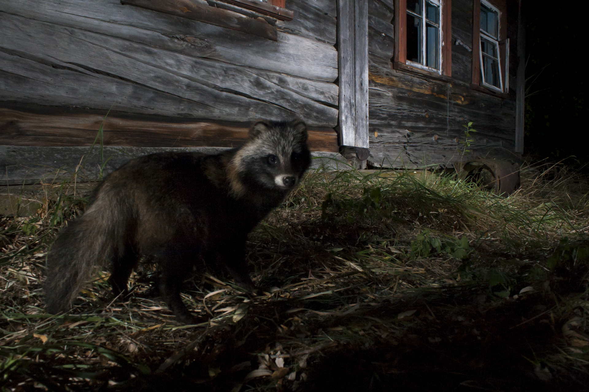 Racoon dogs thrive, escapes from fur farms they can be found across eastern Europe.