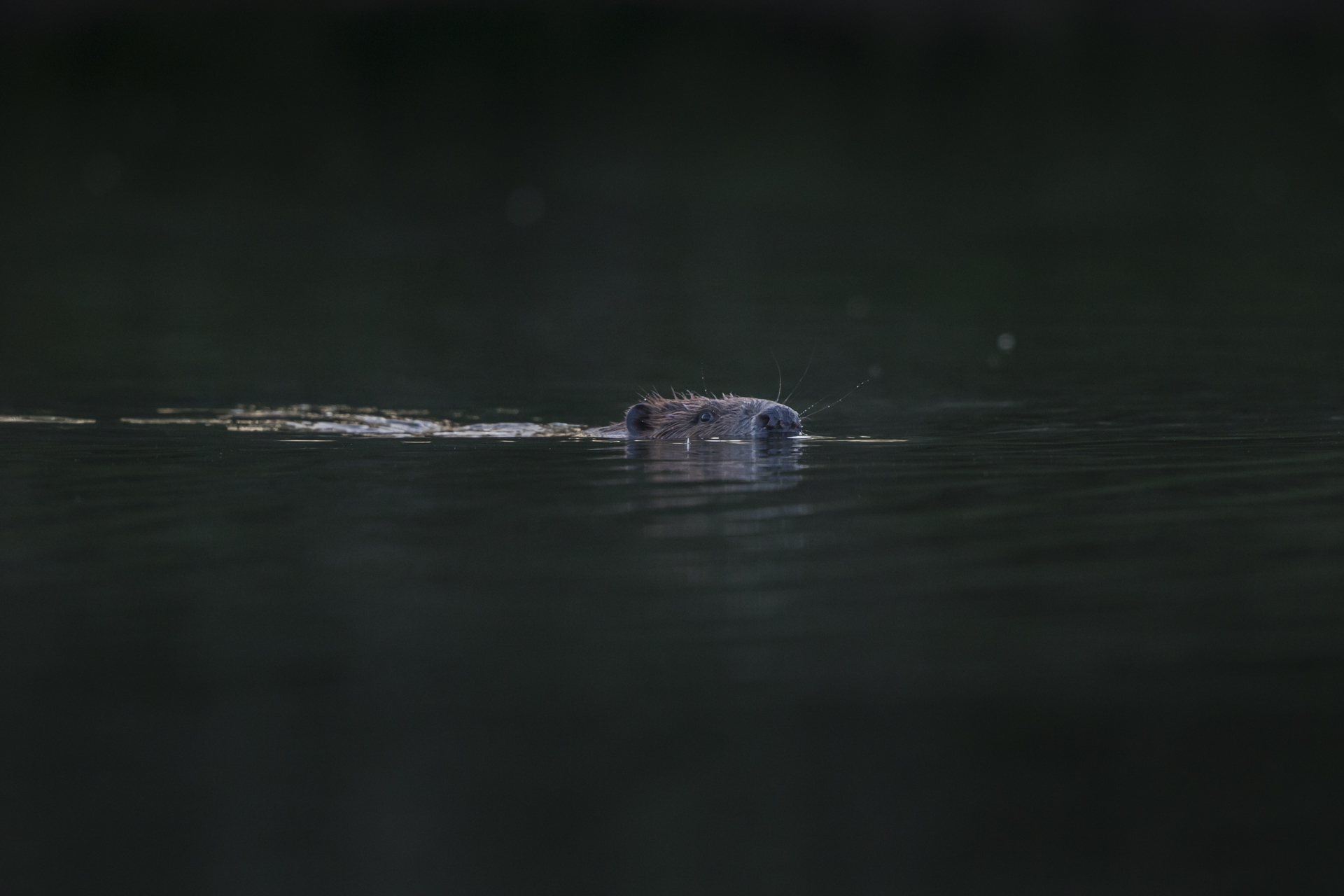 Beavers swim in the cooling ponds, lakes and rivers.