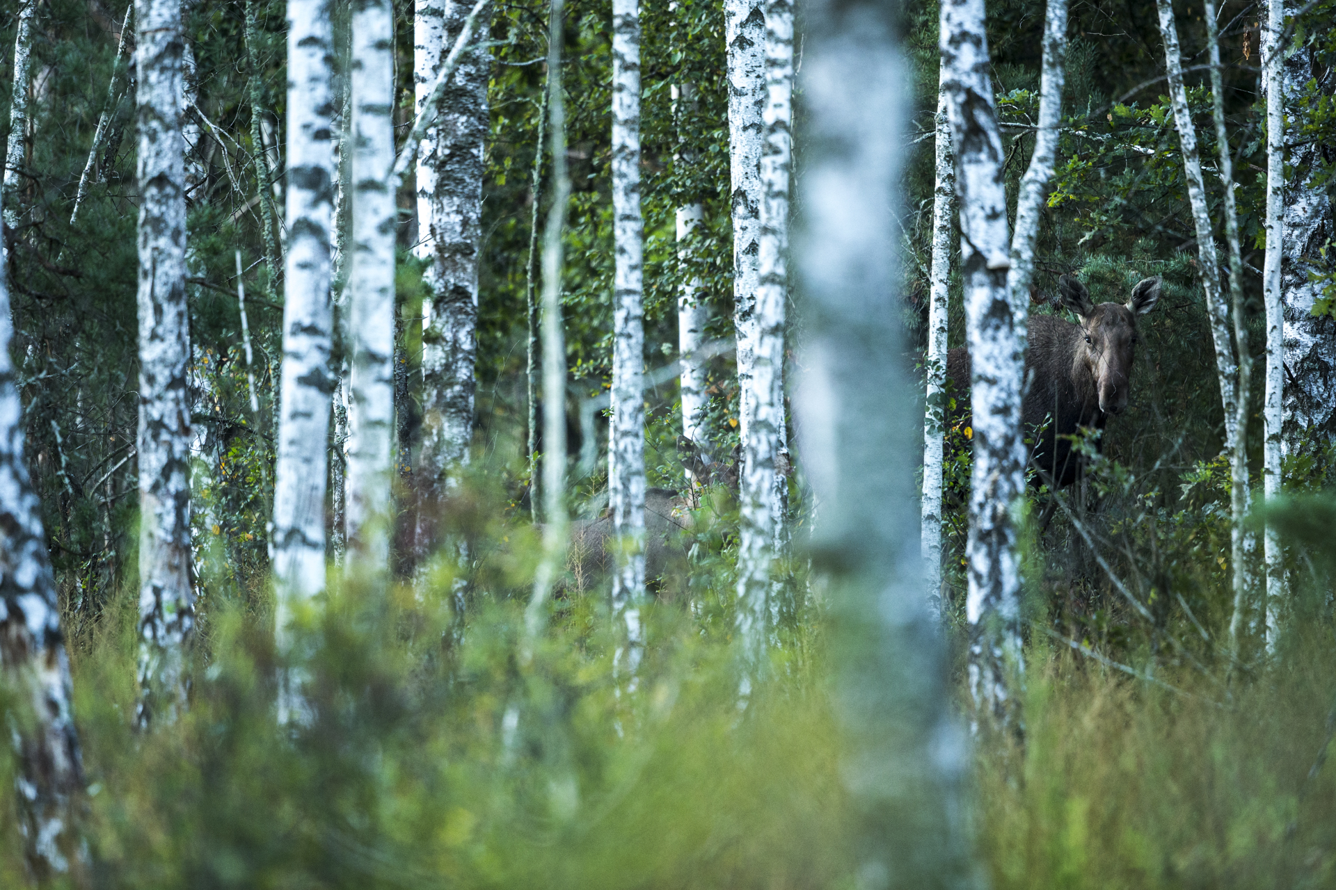 The dykes that were maintained by farmers have broken down leading to flooded fields and wet woodlands, perfect for European moose.