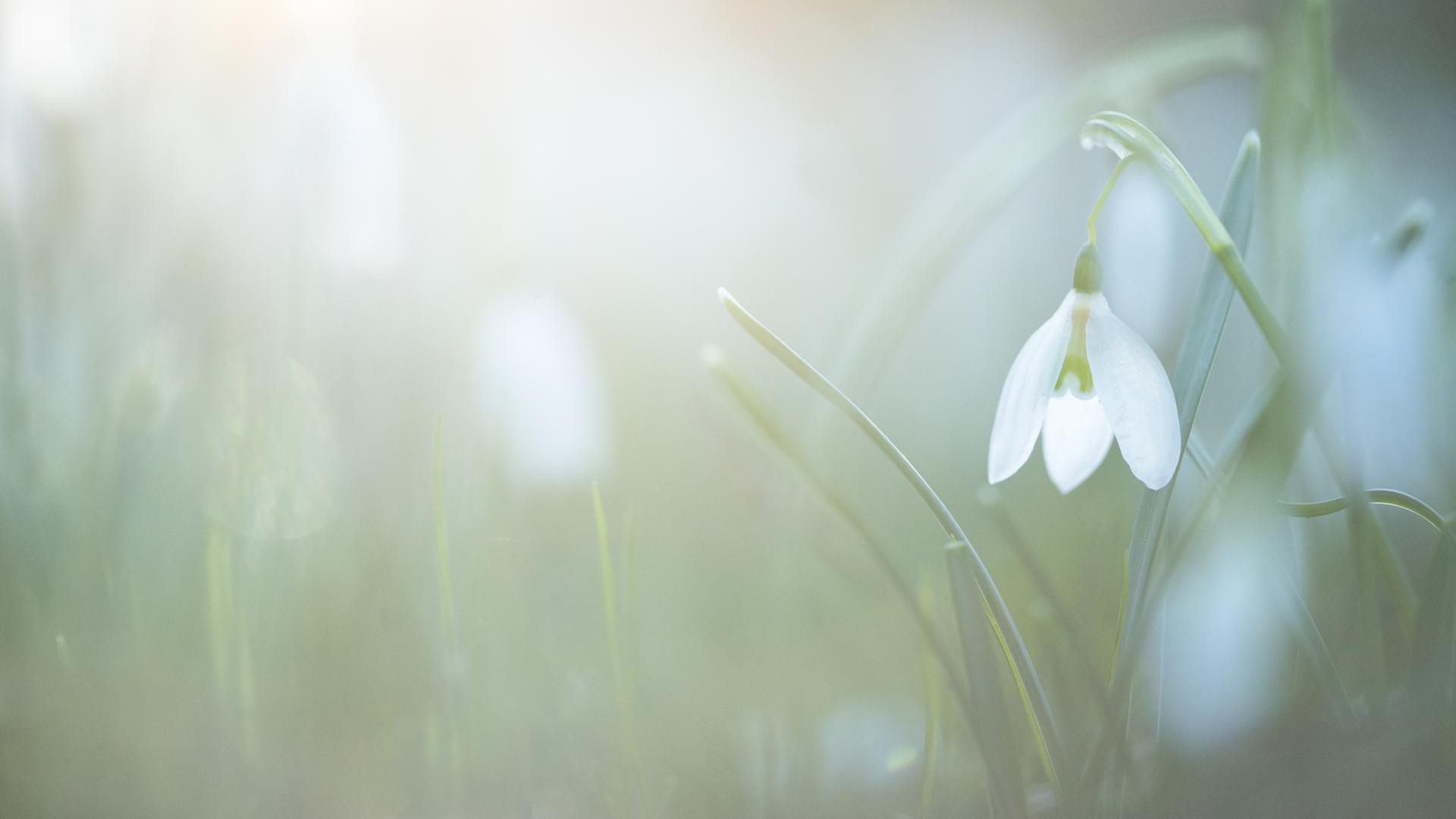 A snow drop, England.