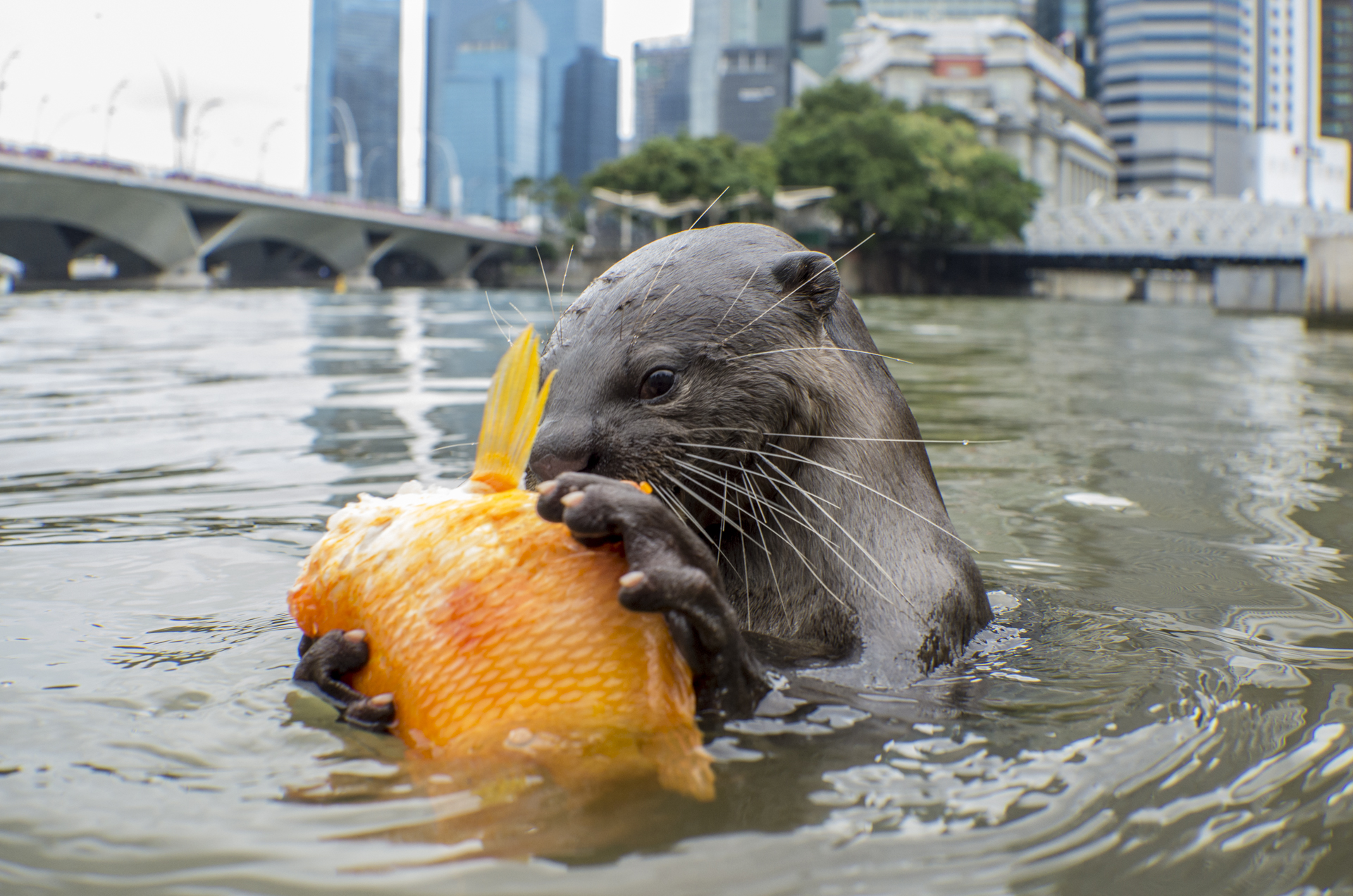 A smooth coated otter feasts on a cichlid in Singapore.