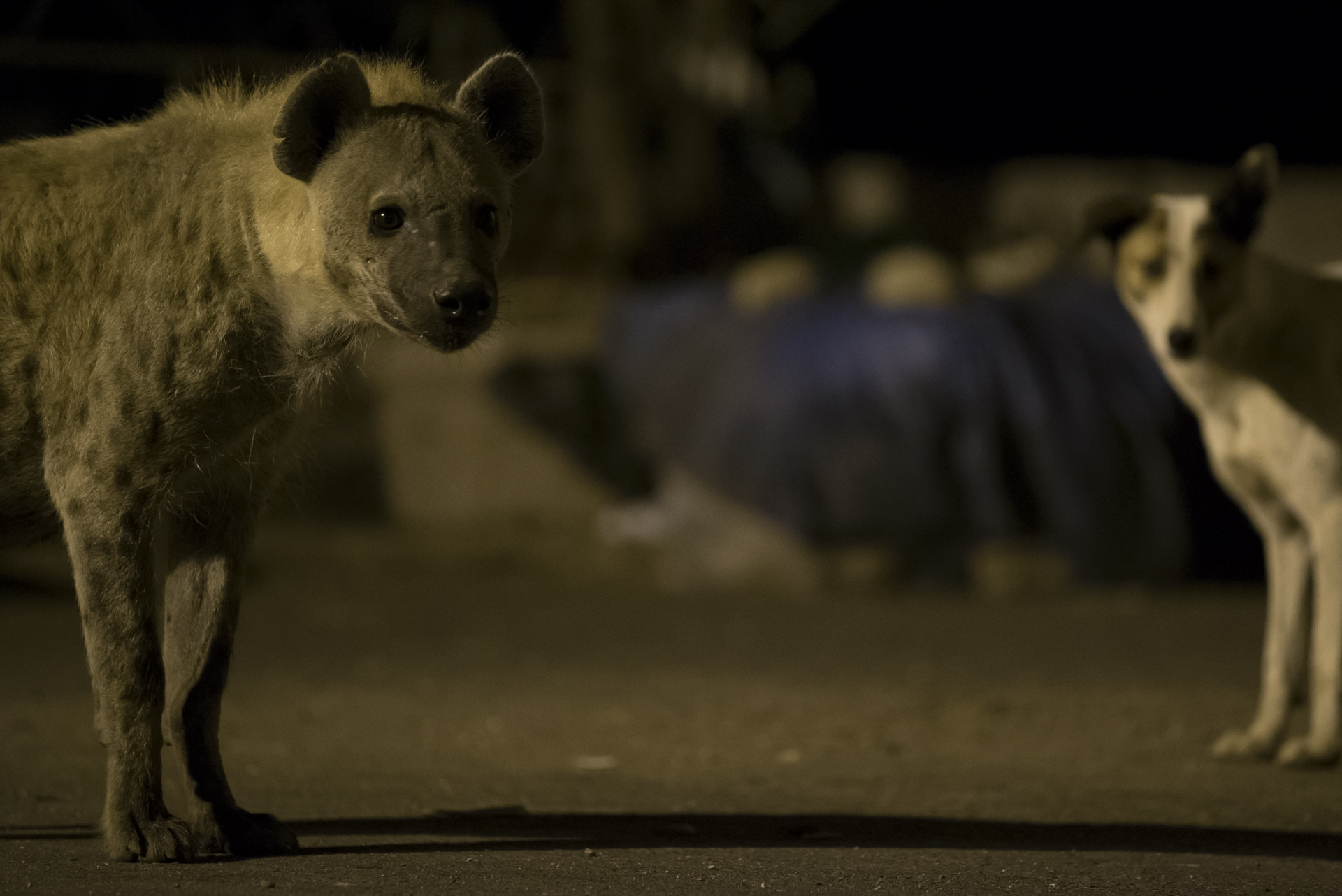 Feral dogs roam around the city and feed amongst the hyenas.