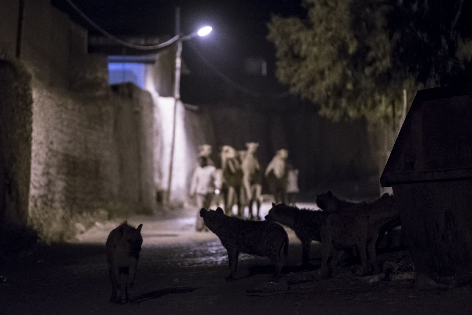 Hyenas scavenge as a group of camels are led to a local abattoir.