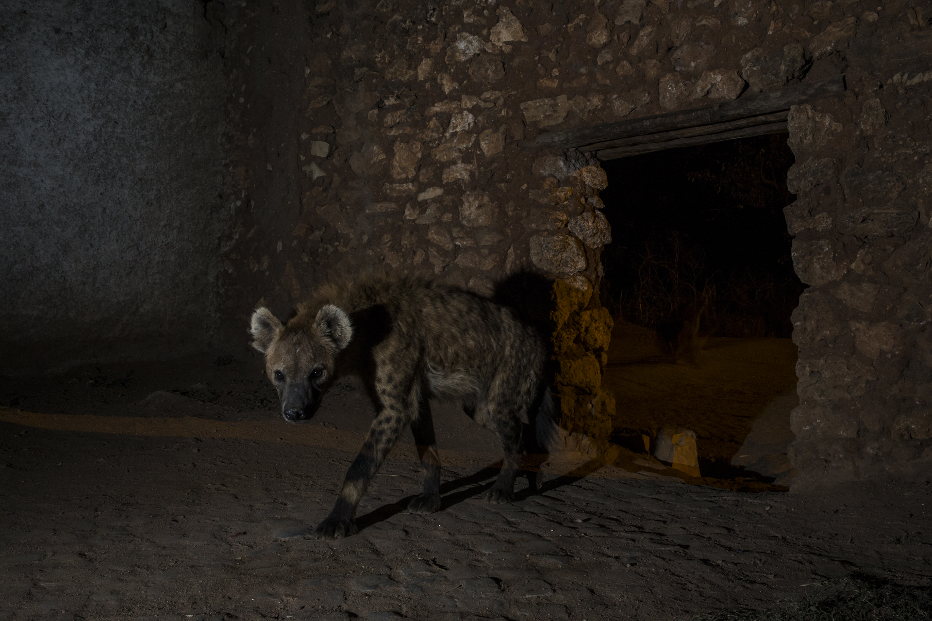 As a walled city, special hyena gates were constructed hundreds of years ago to allow access for the hyenas once the main gates were closed at dusk.
