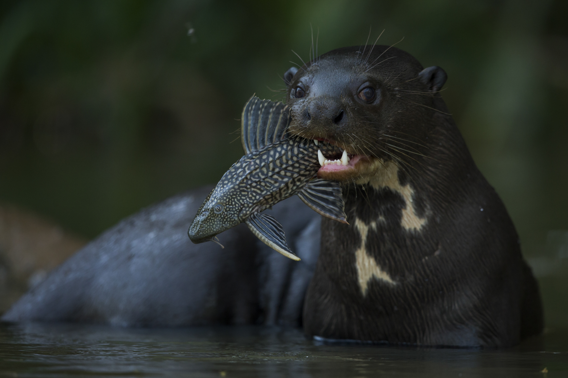 A giant river otter with a plecostomus.