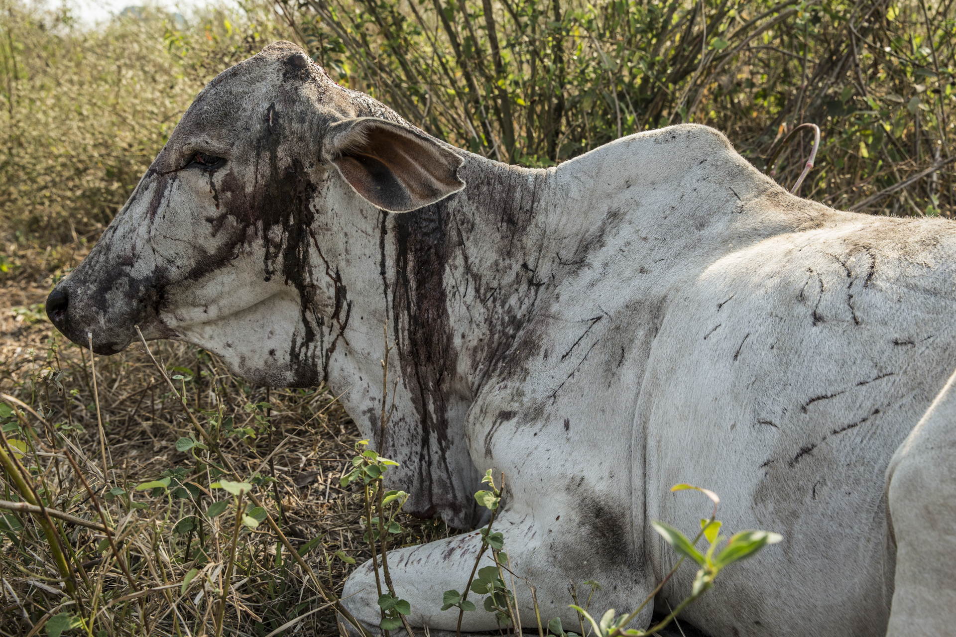 A cow, miraculously still alive after a jaguar attack.