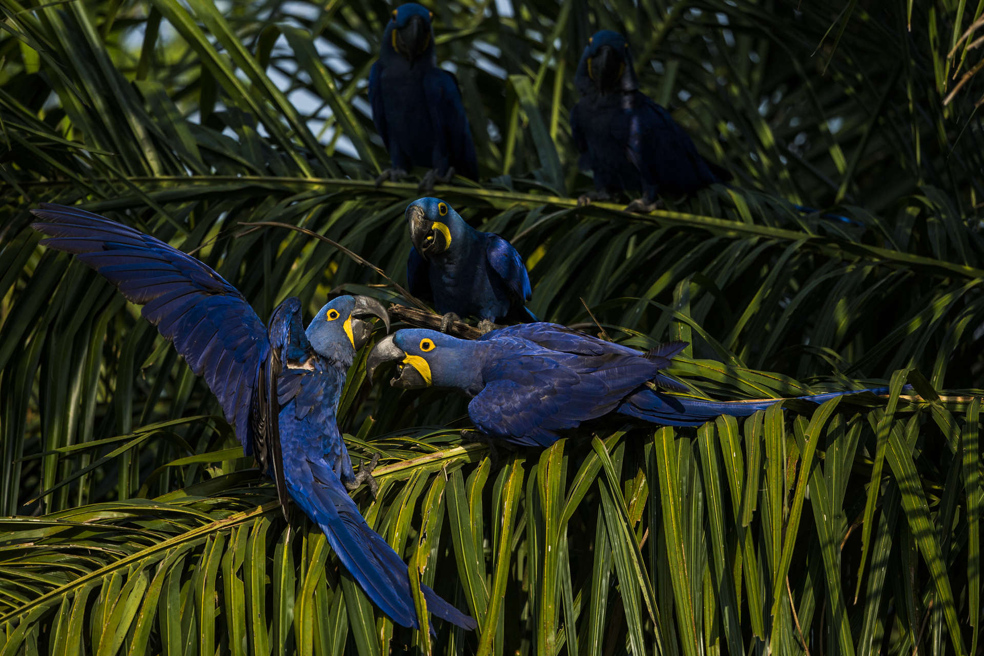 Hyacinth macaws squabble over palm nuts.