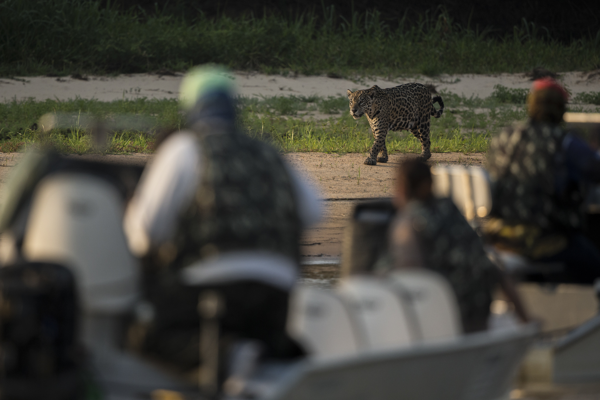 Jaguar tourism is a huge draw generating millions of dollars per year.