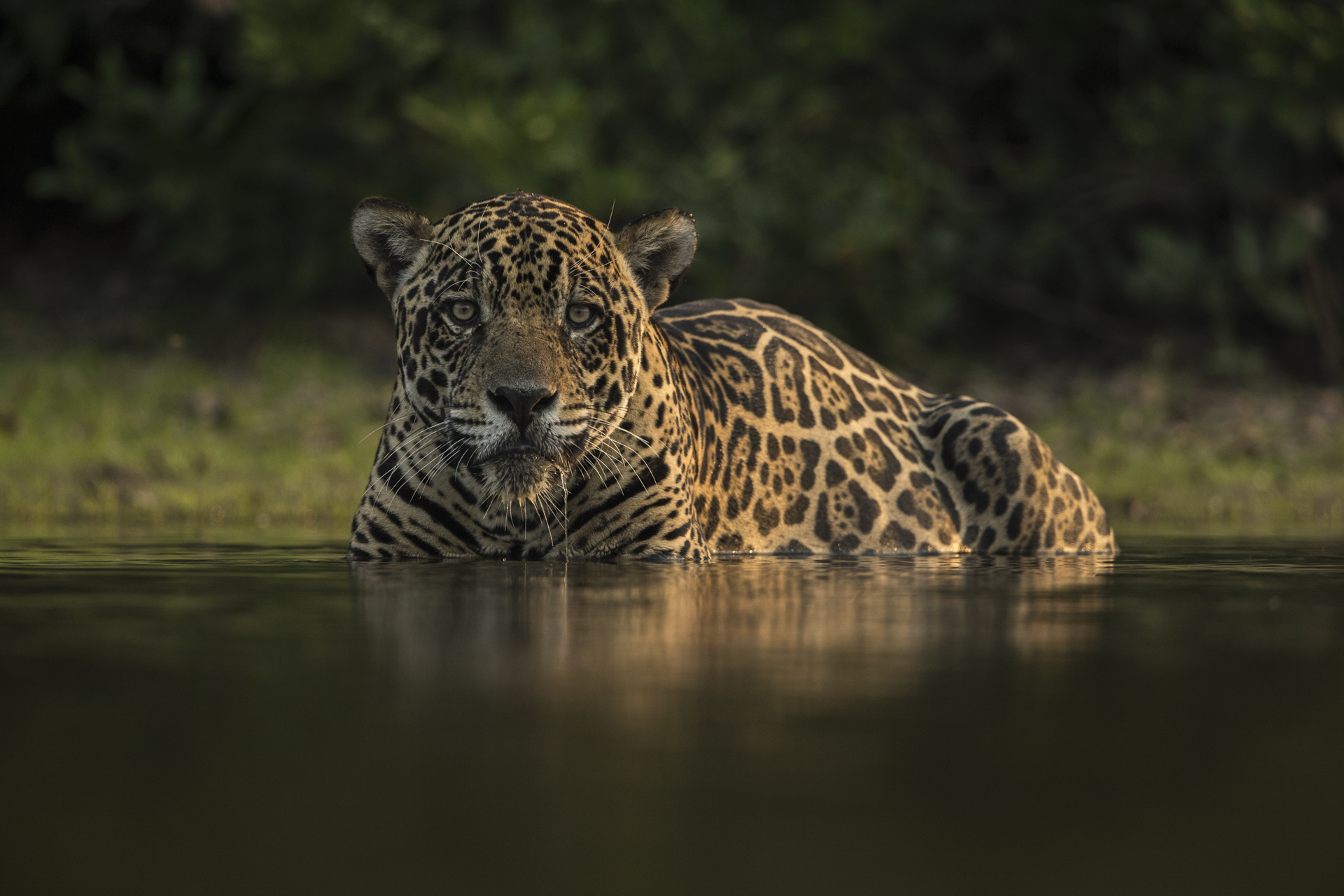 A male jaguar takes a dip in a waterhole to cool off.