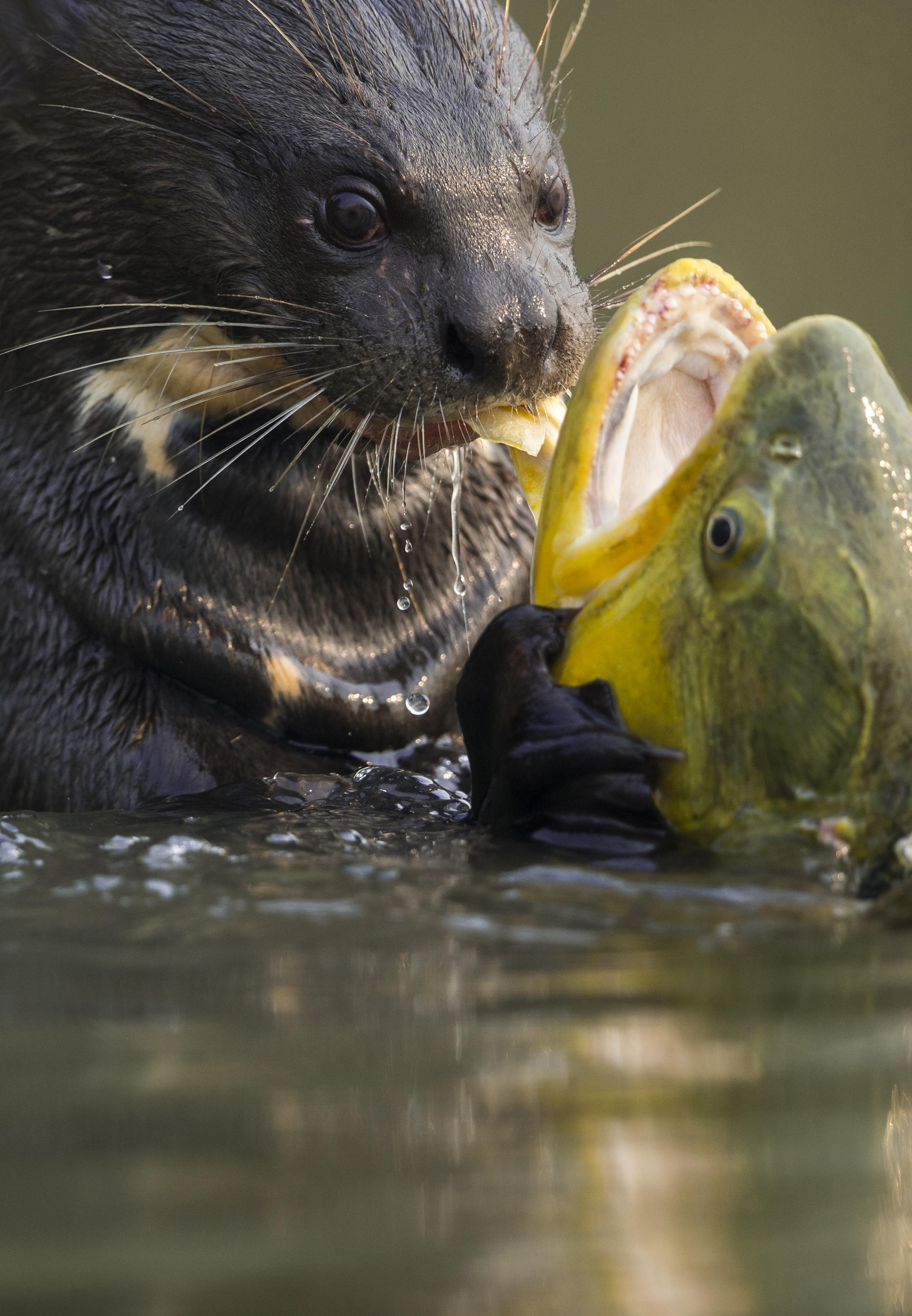 A giant river otter eats a Golden Dorado.