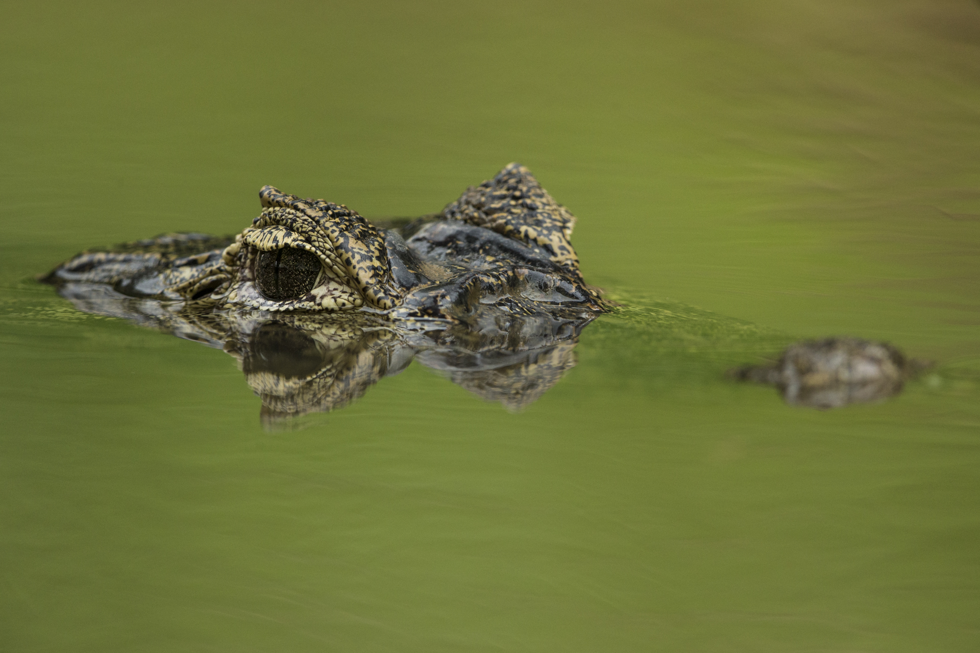 A Yacare Caiman in the Pantanal.