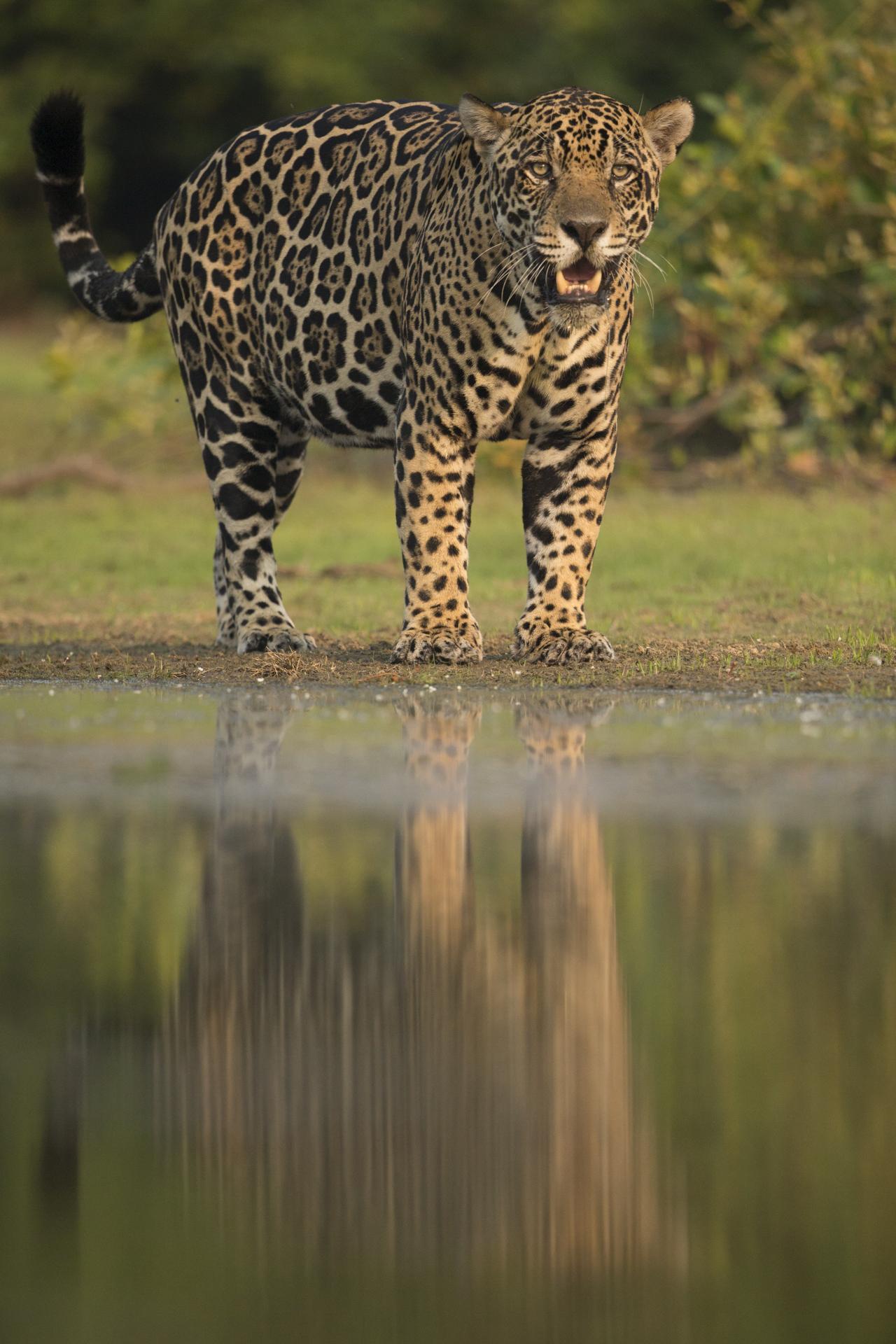 A jaguar in the Pantanal.