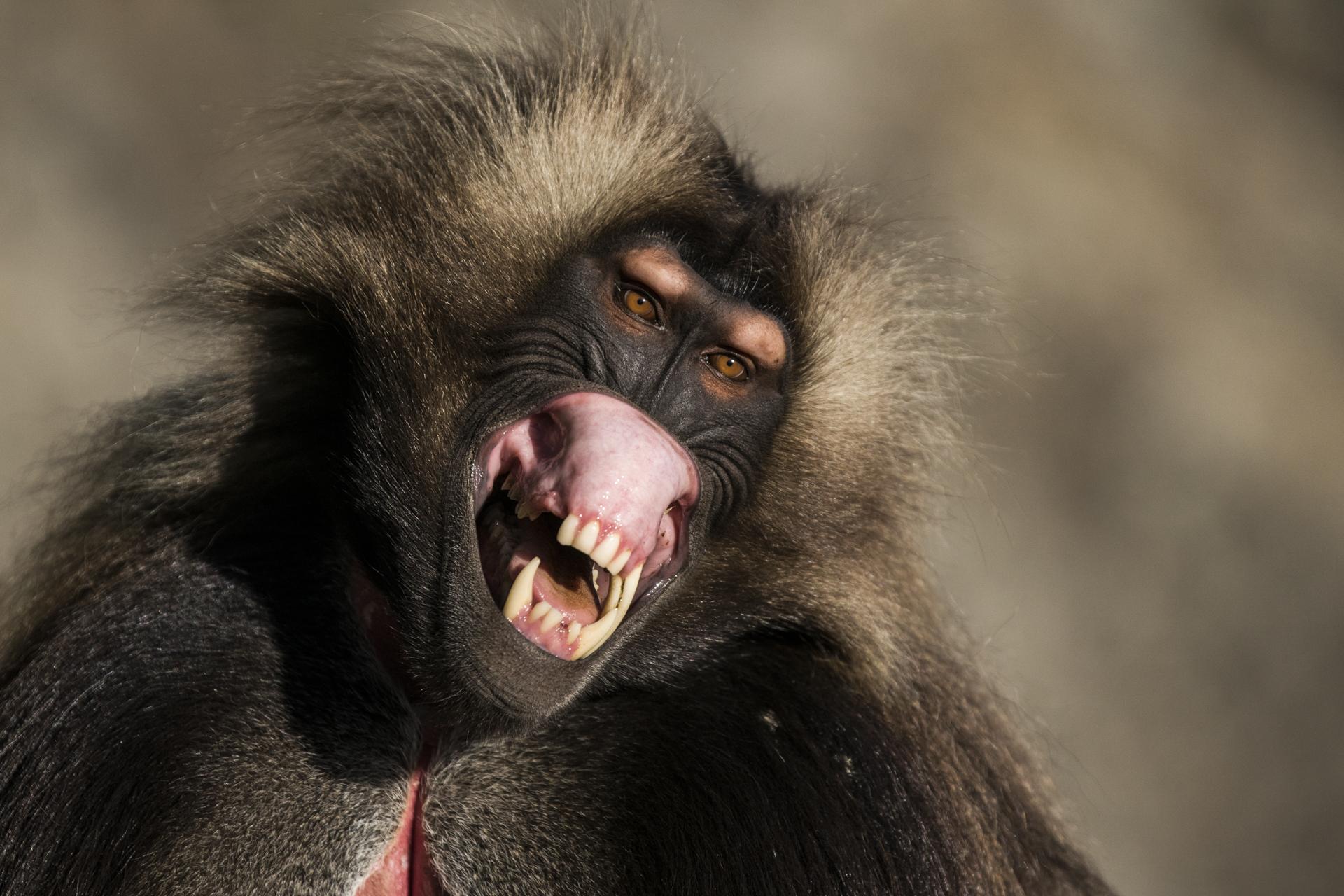 A male Gelada bears his teeth in Ethiopia.