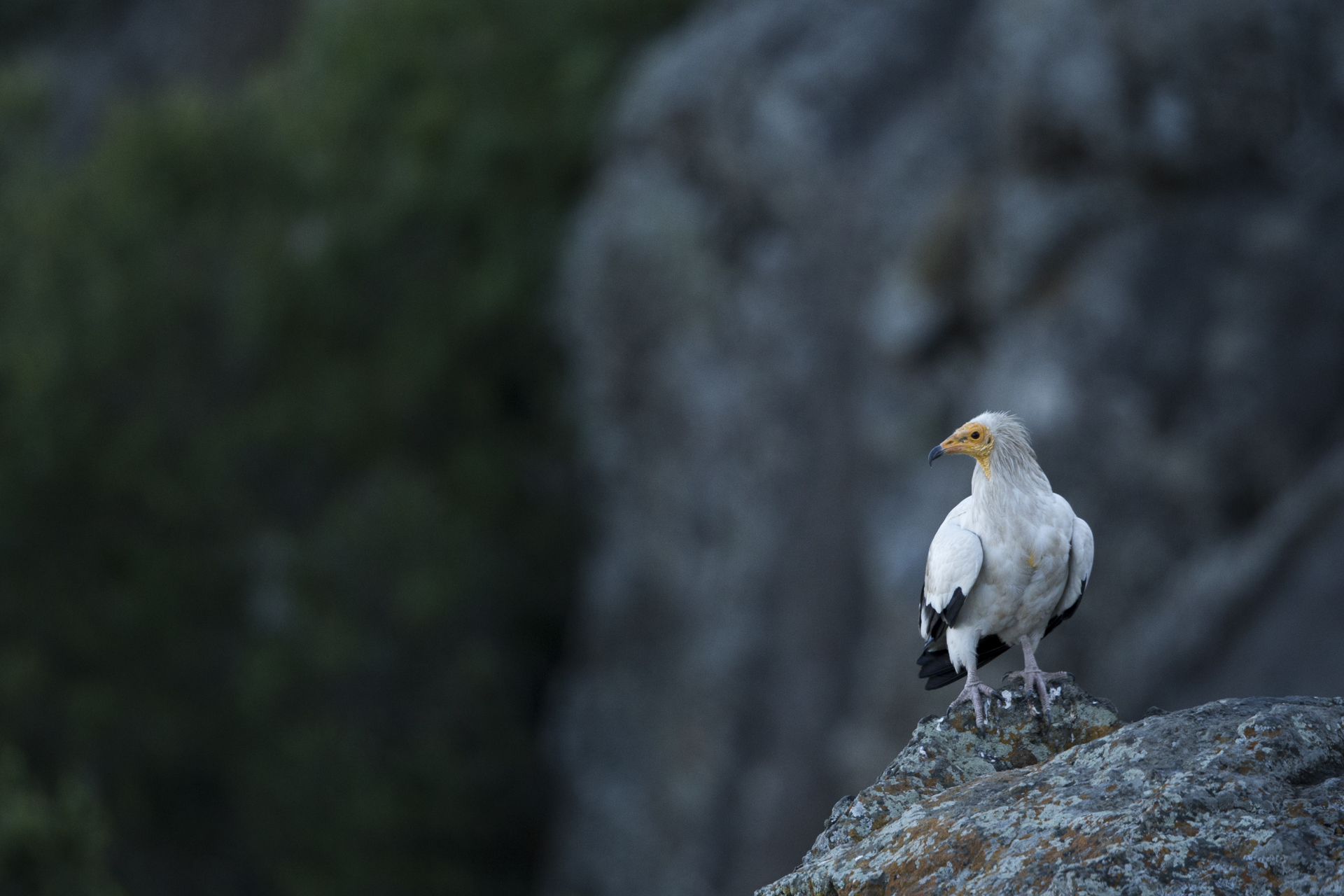 An Egyptian vulture perches on a cliff top.