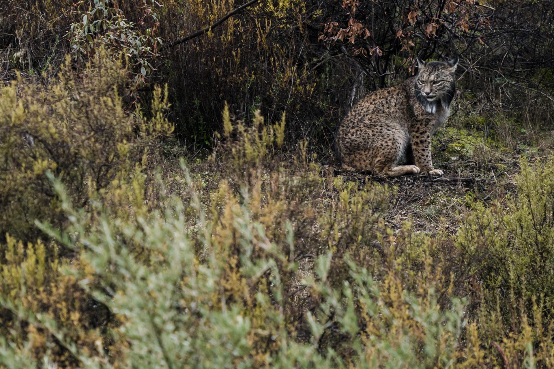 The rarest cat in the world, an Iberian lynx.
