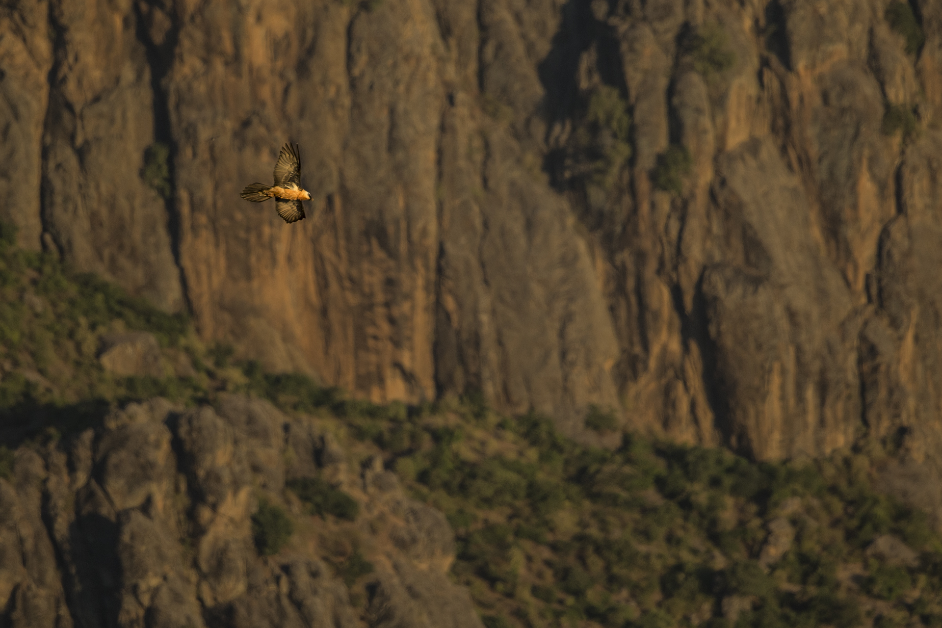 A bearded vulture flies along a cliff edge in Ethiopia.