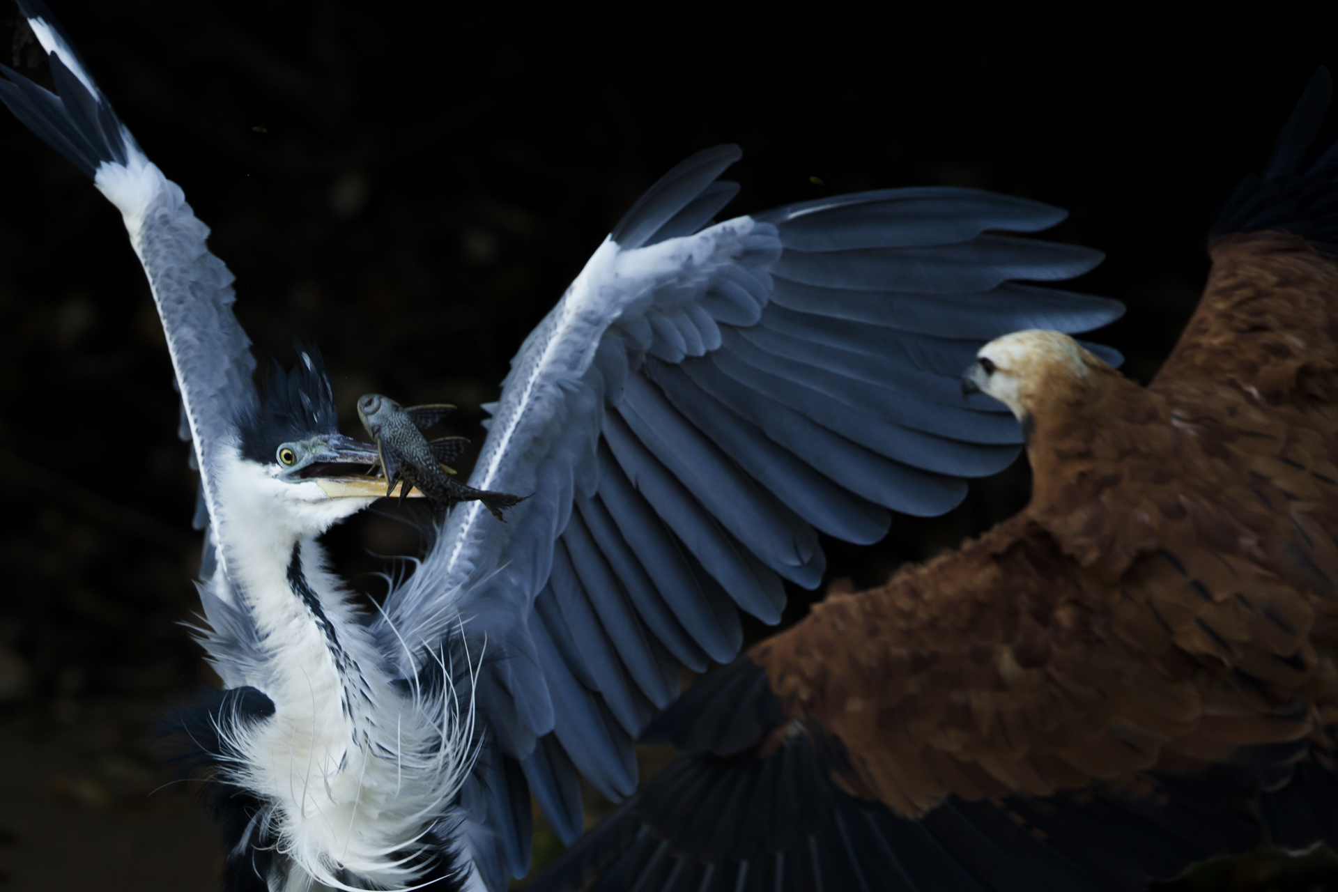 A cocoi heron is harassed by a black collared hawk in Brazil.