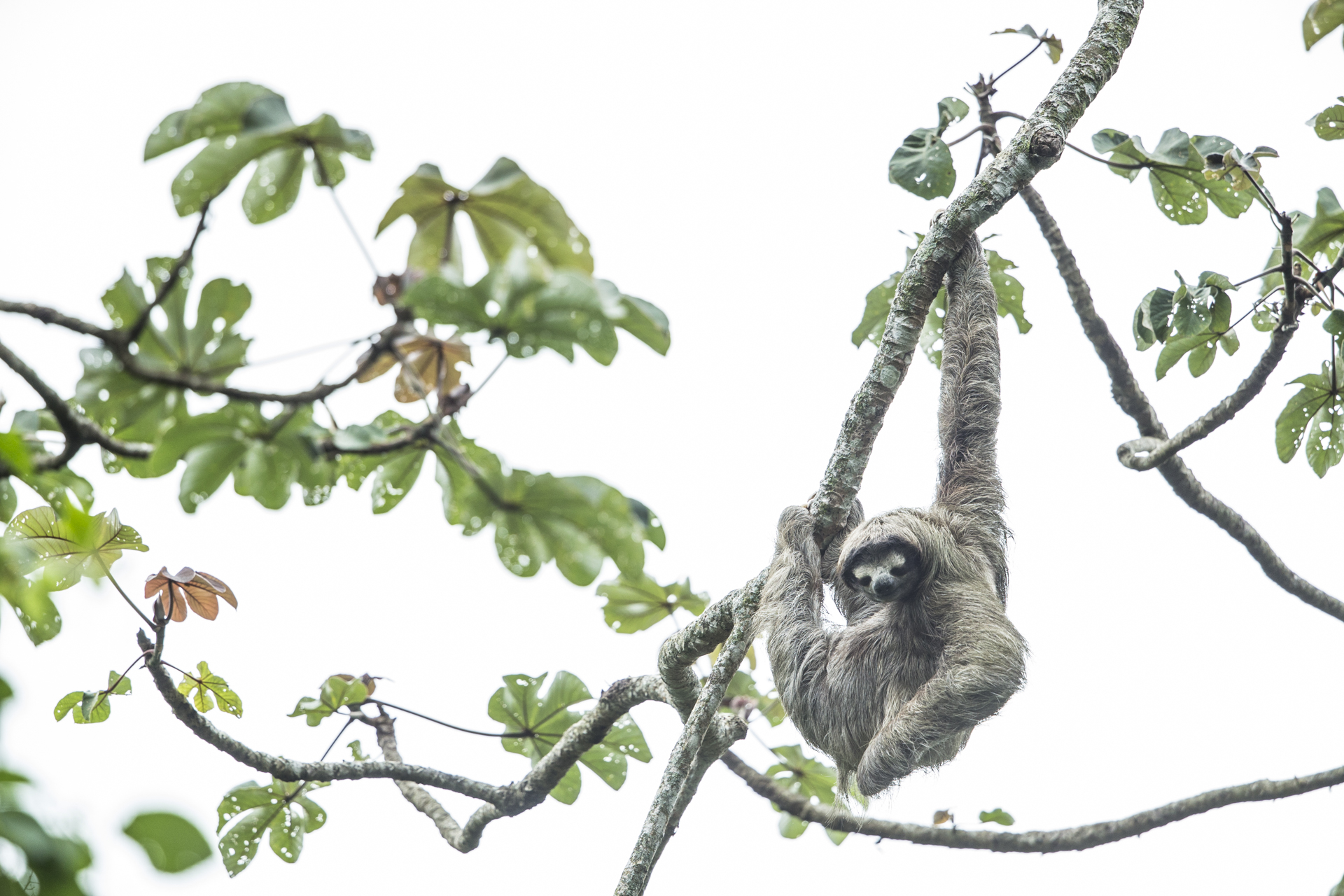 A sloth hangs out in a Cecropia.