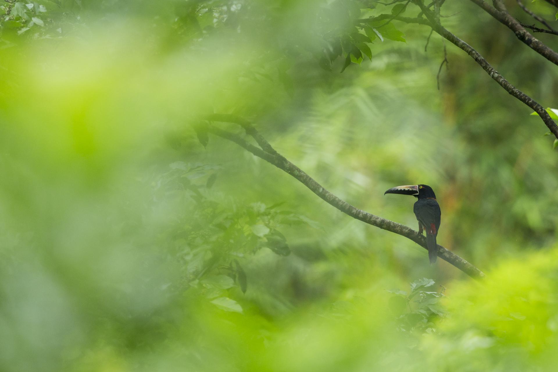 An aracari perches in Panama.