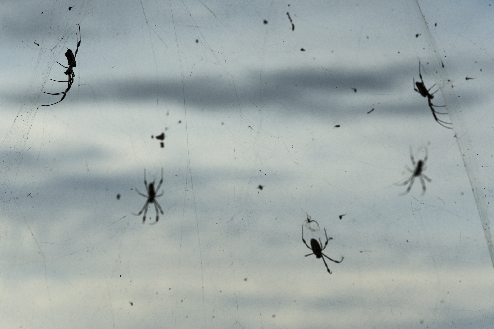 On the windy peaks of a Panamanian hilltop Golden orb web spiders create a mass of webs to catch windswept insects.