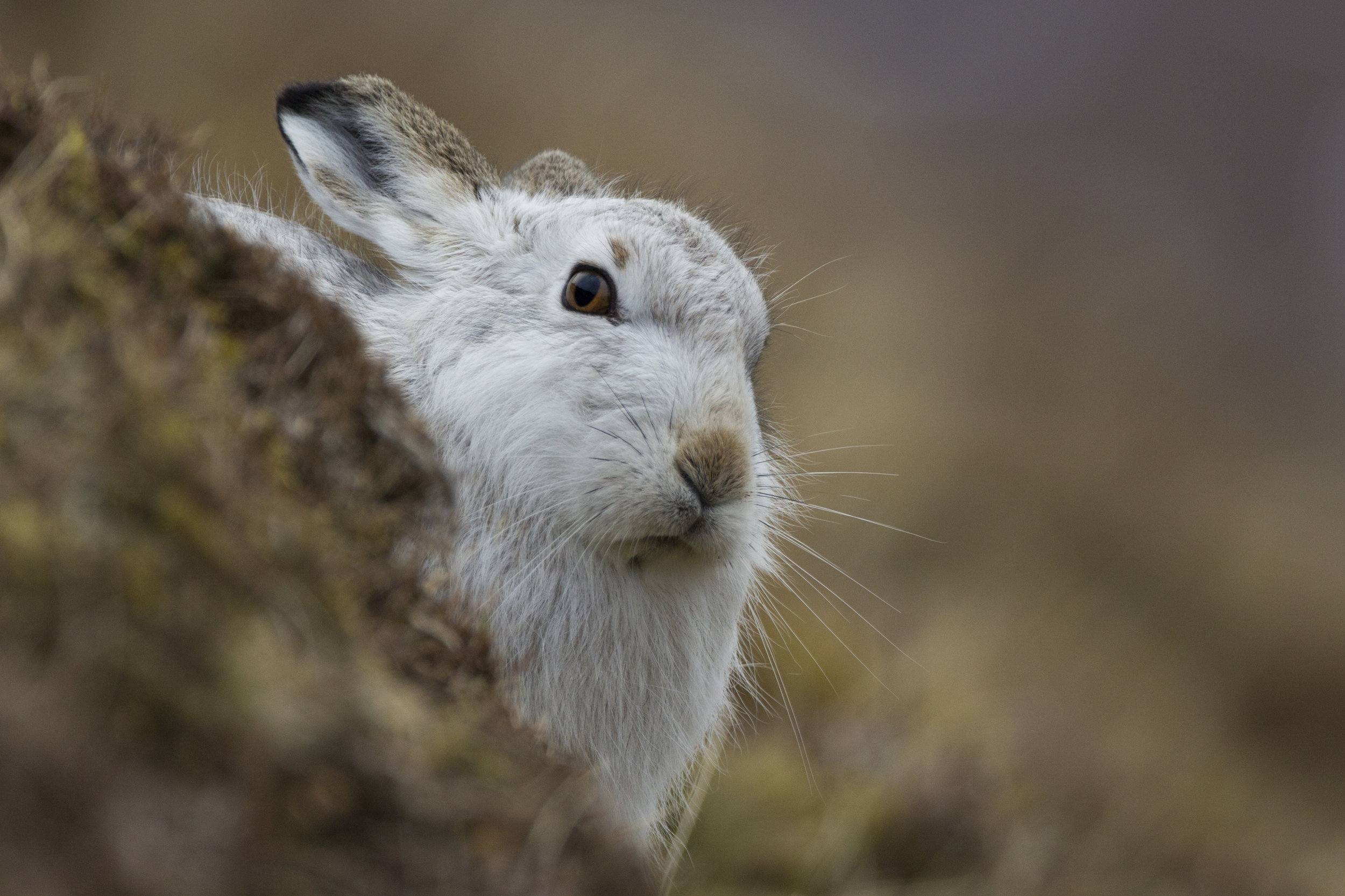 A mountain hare stands out against the hillside. Changing to white fur in winter is perfect for camouflage but only when there is snow.