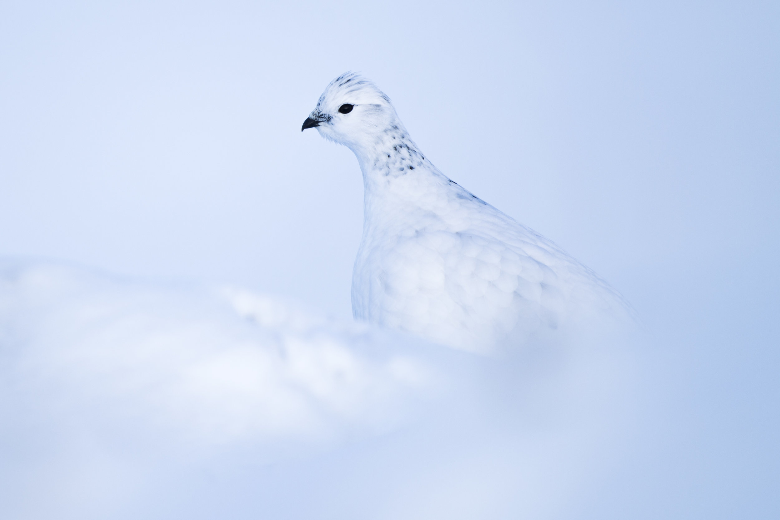 A ptarmigan amongst the snow.