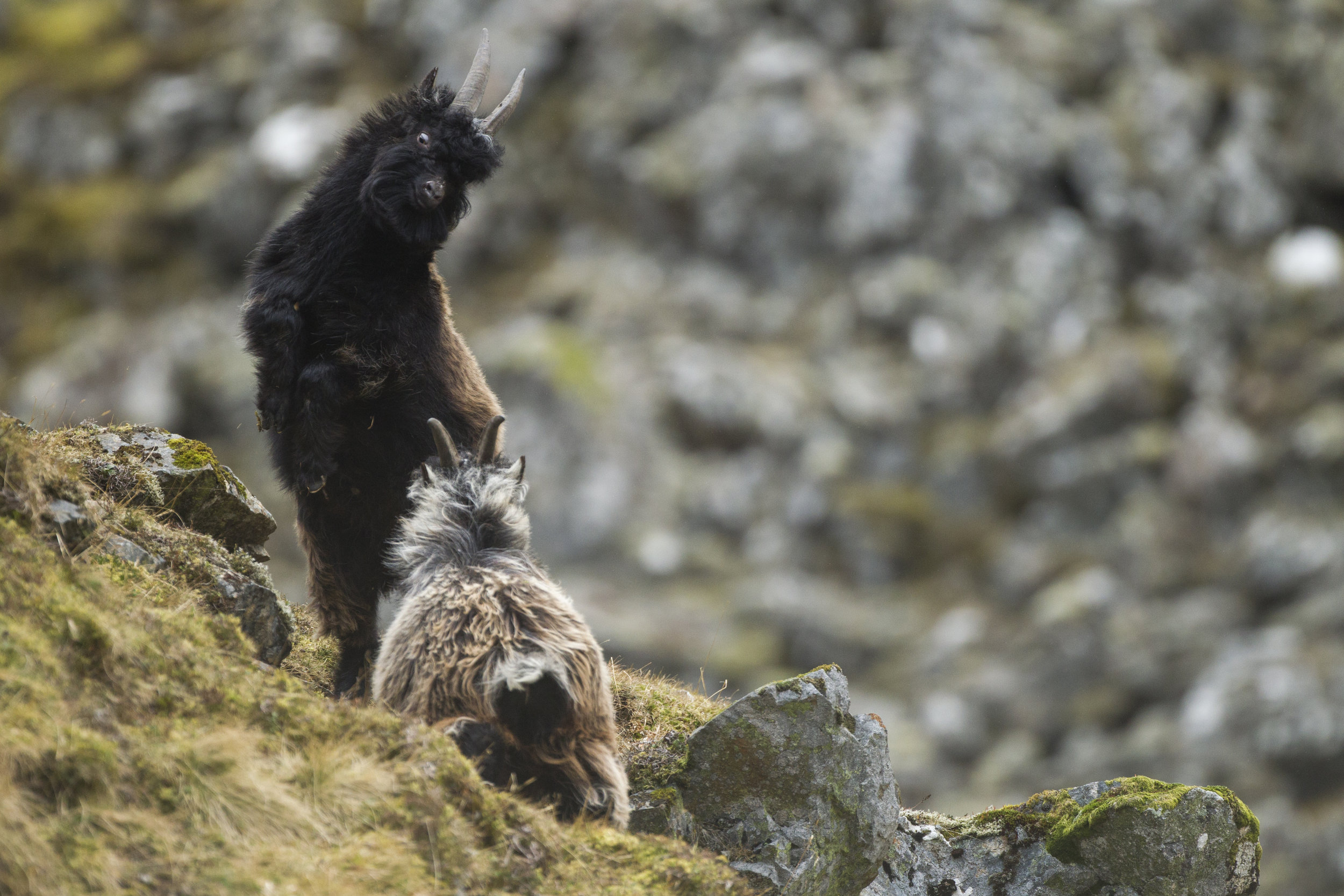 Wild mountain goats play fight in the Cairngorms.