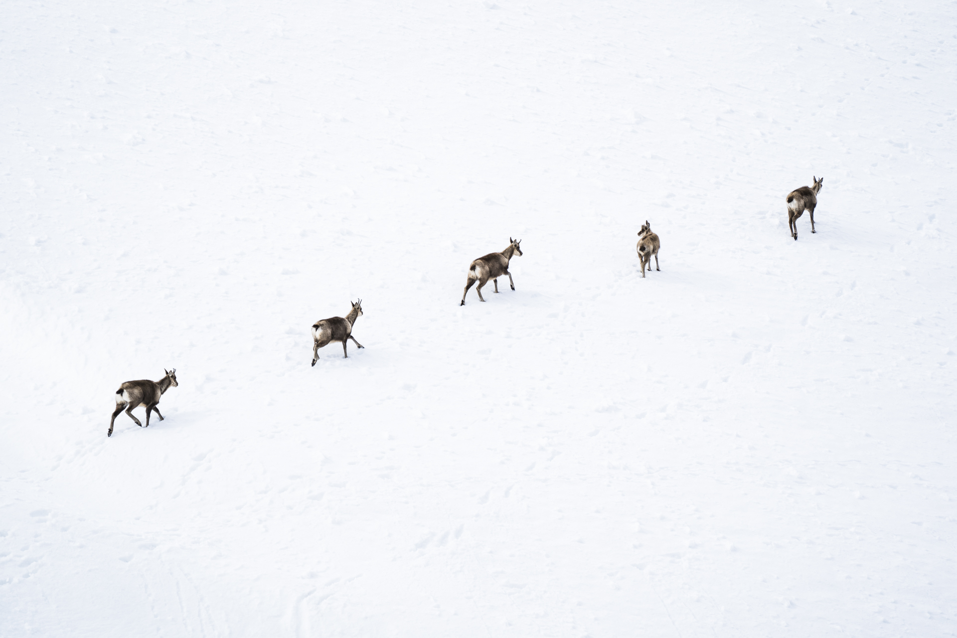 A quintet of chamois walk across a snowy slope.